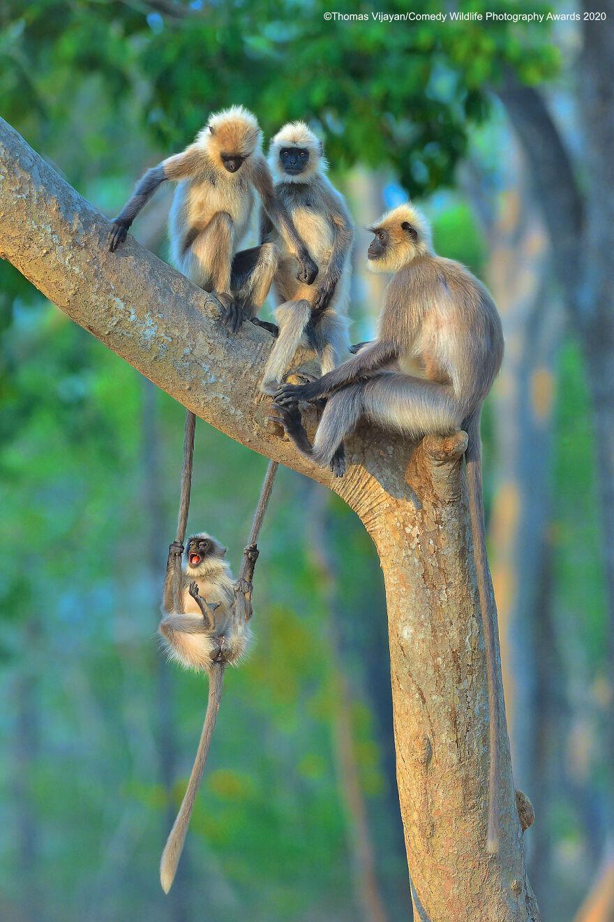 Ενας παιχνιδιάρης νεαρός πίθηκος διασκεδάζει με την οικογένειά του σε δέντρο στο Καμπίνι της Ινδίας