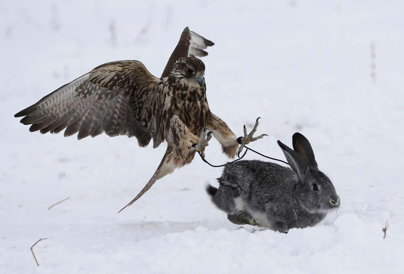 Πρωί Σαββάτου στα περίχωρα της Άλμα Ατα στο Καζακστάν. Ένα εκπαιδευμένο γεράκι επιτίθεται σε ένα κουνέλι κατά τη διάρκεια ενός διαγωνισμού κυνηγιού