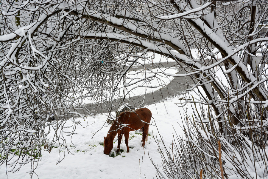 Αλογο ψάχνει για τροφή μέσα στο χιόνι στη Λάρισα