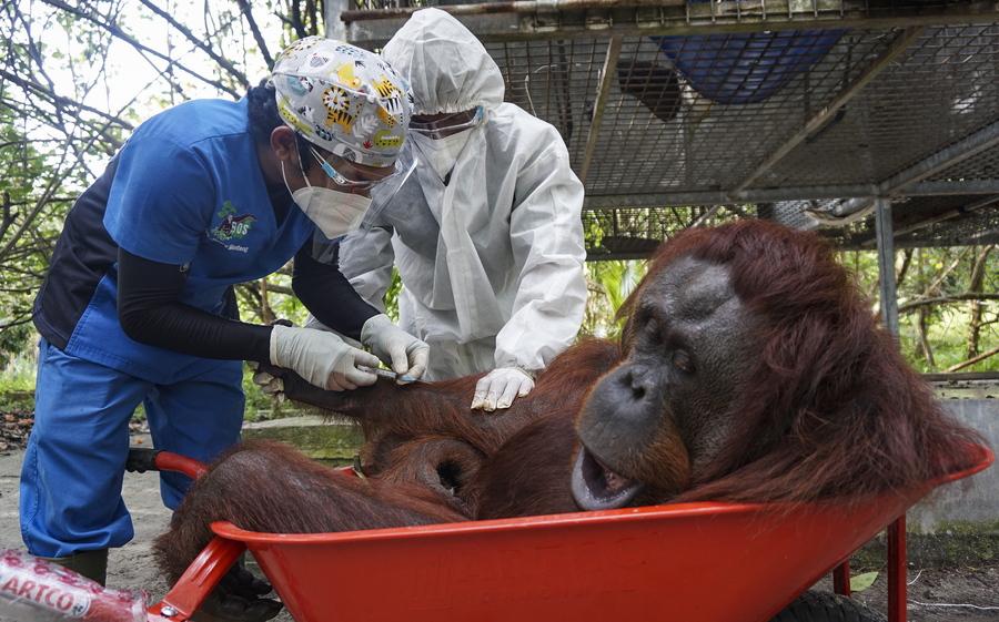 Η αναισθησία του ουρακοτάγκου και η φροντίδα του κτηνιάτρου – για το καλό του ζώου φυσικά, στην Ινδονησία