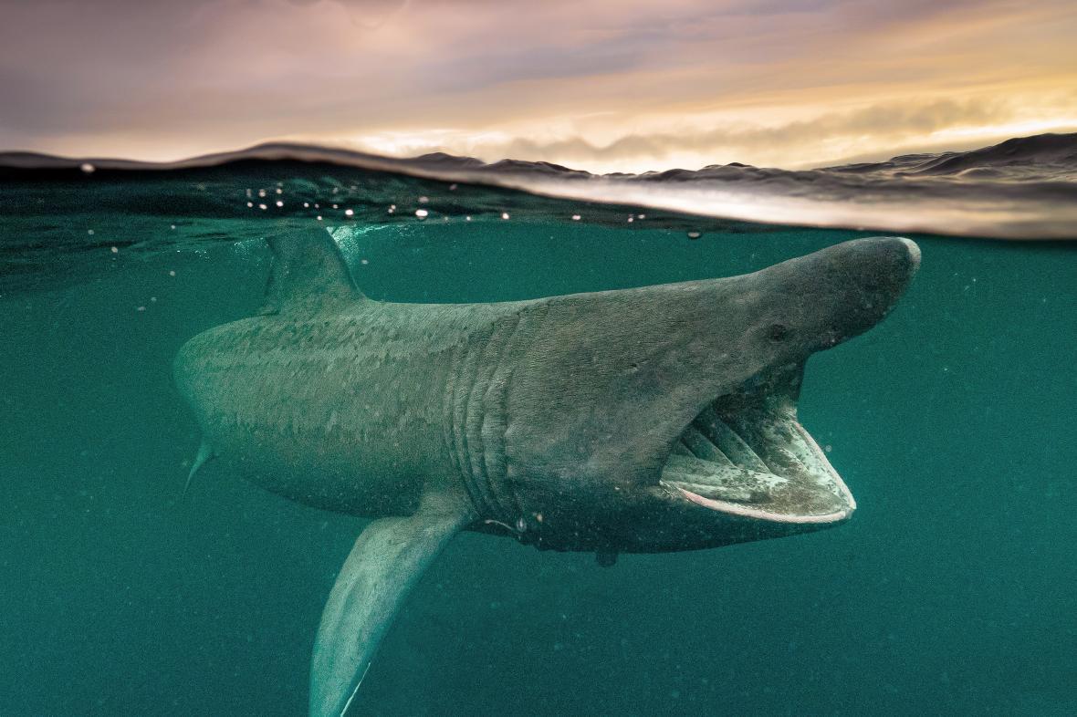 «H Μεγάλη Μετανάστευση». Την δεύτερη θέση στην κατηγορία «Ευρεία Γωνία Βρετανικών Νερών» πήρε η φωτογραφία ενός καρχαρία προσκυνητή που είναι το δεύτερο μεγαλύτερο σε μέγεθος είδος καρχαρία. Το πλαγκτόν που υπάρχει στις δυτικές ακτές της Βρετανίας οδηγούν τους καρχαρίες να κάνουν ένα πέρασμα από αυτή την περιοχή κατά το μεταναστευτικό τους ταξίδι. Αν και η παρουσία τους σε αυτά τα νερά δεν είναι σπάνια εντούτοις η καταγραφή τους από την κάμερα είναι πάντοτε ενδιαφέρουσα