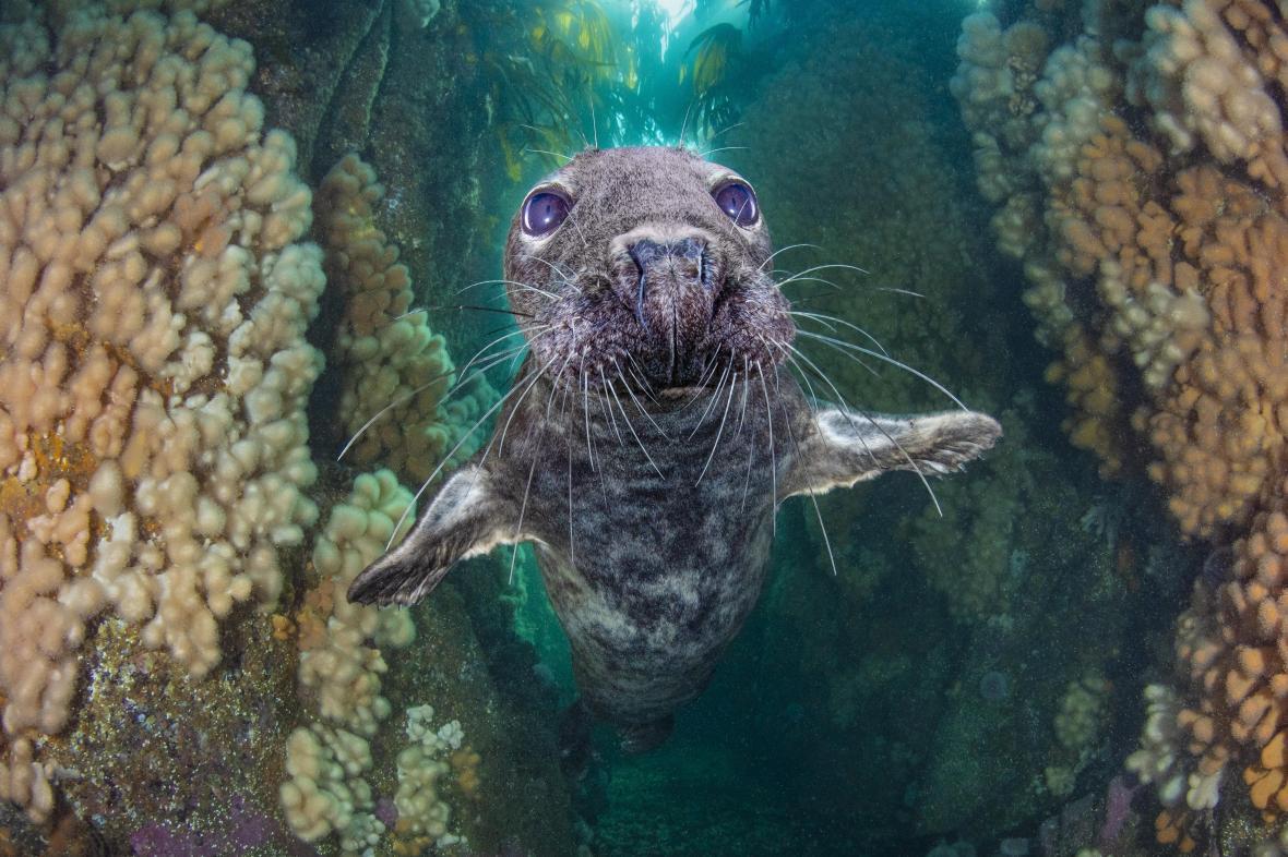Τρίτη θέση στην κατηγορία «Ευρεία Γωνία Βρετανικών Νερών» πήρε η φωτογραφία μιας φώκιας που κολυμπά με χάρη μέσα στα φυτά kelp τα οποία μοιάζουν να έχουν δημιουργήσει μια υποθαλάσσια χαράδρα και έτσι ονομάστηκε και η φωτογραφία