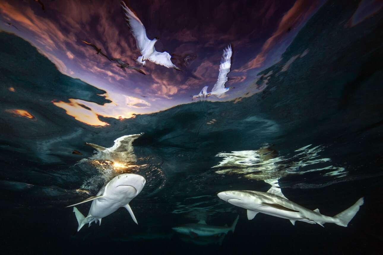 «O Φεγγίτης των Καρχαριών». Το μεγάλο βραβείο του διαγωνισμού κέρδισε η αμερικανίδα καθηγήτρια βιολογίας Ρενέ Καπόζολα με μια φωτογραφία καρχαριών πάνω από τους οποίους εικονίζονται να πετούν γλάροι, την ώρα του δειλινού στη Γαλλική Πολυνησία. Είναι η πρώτη γυναίκα που κερδίζει το μεγάλο βραβείο του συγκεκριμένου διαγωνισμού και, όπως είπε, εκτός από χαρούμενη, νιώθει ικανοποιημένη που χάρις στην επιτυχία της θα αναδειχθεί ο κίνδυνος εξαφάνισης που αντιμετωπίζουν οι καρχαρίες