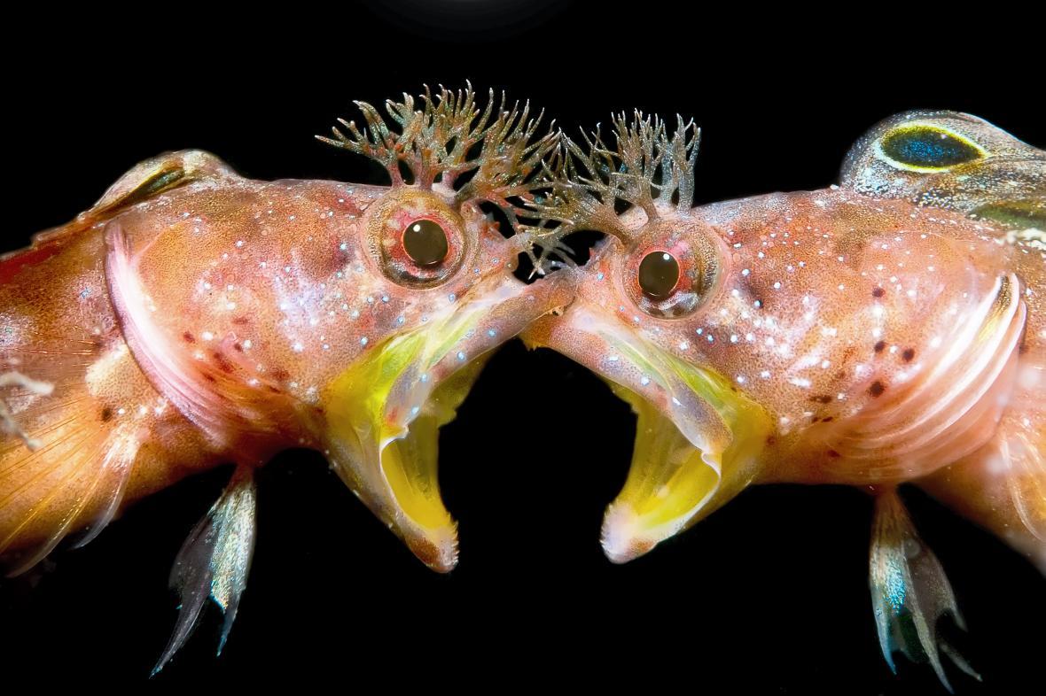 «Πρόσωπο με Πρόσωπο». Tην δεύτερη θέση στην κατηγορία «Συμπεριφορά» πήρε η αναμέτρηση δύο τροπικών ψαριών Blenny. Ο φωτογράφος κατάφερε να καταγράψει την στιγμή που τα δύο ψάρια έχουν έρθει… face to face και έτσι ονομάστηκε και η φωτογραφία. Το συγκεκριμένο είδος Blenny ζει στα νερά της Ιαπωνίας και της Νότιας Κορέας και κατά κανόνα αποφεύγει τις συναναστροφές με άλλα ψάρια του είδους του. Κατά την διάρκεια της περιόδου αναπαραγωγής, ωστόσο, και κατά την αναζήτηση ερωτικού συντρόφου, οι... συναντήσεις αντιζήλων είναι αναπόφευκτες και συνήθως καταλήγουν σε καυγάδες σαν αυτόν