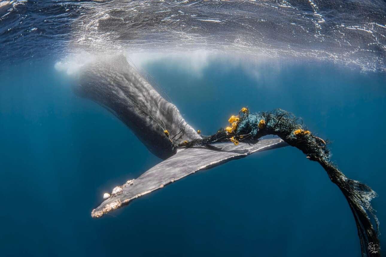 Η ουρά ενός φυσητήρα έχει μπλεχτεί σε αλιευτικά δίχτυα με τον φωτογράφο να καταγράφει την σκηνή αλλά να παρακολουθεί ταυτόχρονα την αγωνιώδη προσπάθεια της φάλαινας να απεμπλακεί. Ο φωτογράφος προσπάθησε να βοηθήσει αλλά δεν τα κατάφερε και λίγα δευτερόλεπτα μετά τα δίχτυα τράβηξαν προς τον βυθό την φάλαινα. Η κινητοποίηση για την ανεύρεση και απελευθέρωση της φάλαινας από τα δίχτυα δεν είχε ευτυχή κατάληξη και θεωρείται πολύ πιθανό η φωτογραφία να απεικονίζει τις τελευταίες στιγμές του άτυχου θηλαστικού