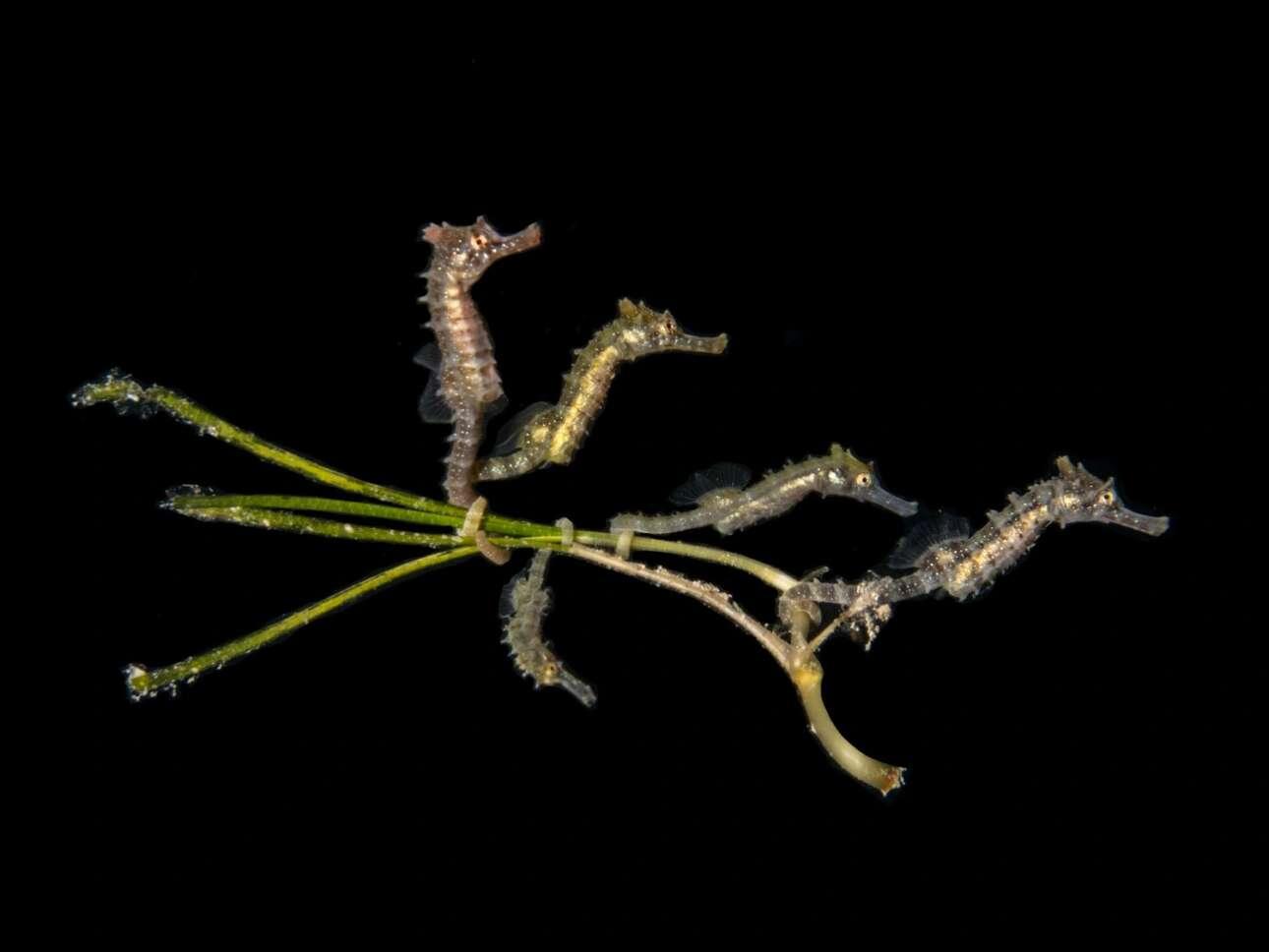 Το πρώτο βραβείο στην κατηγορία «Compact Macro» κέρδισε η φωτογραφία πέντε ιππόκαμπων βρεφικής ηλικίας στην περιοχή Blairgowrie Pier της Μελβούρνης στην Αυστραλία. Οι νεογέννητοι ιππόκαμποι έχουν αγκιστρωθεί σε ένα φύκι έτσι ώστε να μετακινούνται πιο εύκολα αλλά και να μπορούν να αντιμετωπίσουν από κοινού μια πιθανή απειλή. Μια ακόμη λεπτομέρεια που έδωσε στην φωτογραφία την πρώτη θέση είναι ότι ο φωτογράφος κατάφερε να καταγράψει την στιγμή που όλοι οι ιππόκαμποι κοιτάζουν στην ίδια κατεύθυνση