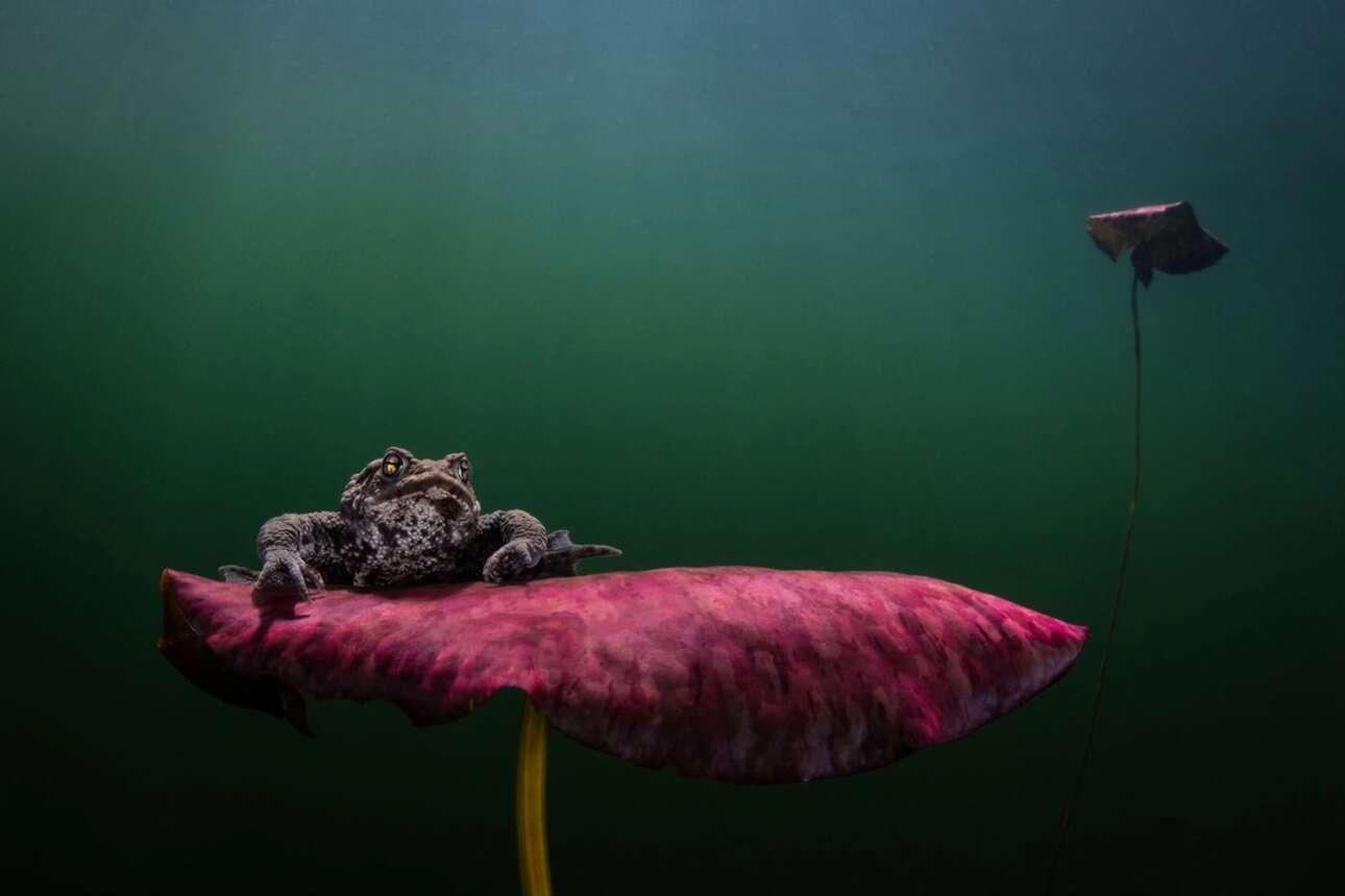 Την δεύτερη θέση στην κατηγορία «Ψυχρά Νερά» πήρε η φωτογραφία ενός αρσενικού βατράχου σε μια λίμνη στην περιοχή Halland στην δυτική ακτή της Σουηδίας. Τον χειμώνα η θερμοκρασία της λίμνης πέφτει πολύ αλλά καθώς πλησιάσει η άνοιξη και η θερμοκρασία ανεβαίνει ξεκινά η εποχή της αναπαραγωγής. Ο φωτογράφος αποτύπωσε την εικόνα του βατράχου ενώ αυτός βρίσκεται σε αναζήτηση ενός θηλυκού