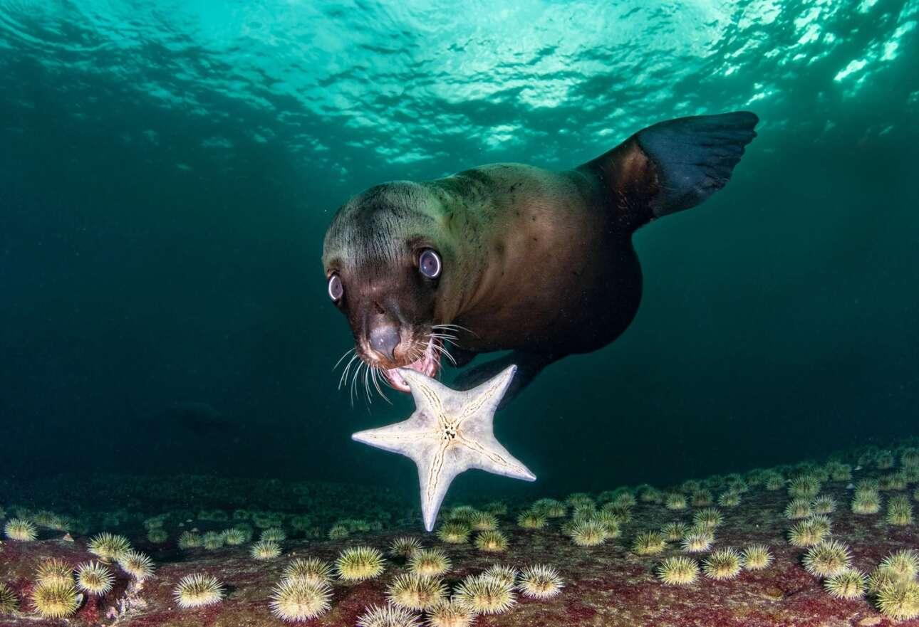 Έχει διαπιστωθεί ότι οι θαλάσσιοι λέοντες όταν βρίσκονται σε παιδική ηλικία έχουν συμπεριφορά παρόμοια με αυτή των ανθρώπων. Παίζουν με ότι βρίσκουν διαθέσιμο στο περιβάλλον που βρίσκονται. Στην κατηγορία «Wide Angle» διακρίθηκε η φωτογραφία ενός θηλυκού νεαρού θαλάσσιου λέοντα στα ανοικτά του νησιού Hornby στον Καναδά να χρησιμοποιεί ως παιχνίδι έναν αστερία. Μάλιστα όταν ο θαλάσσιος λέοντας είδε την φωτογράφο την πλησίασε για να του δείξει το παιχνίδι του επιτρέποντας της να καταγράψει την φωτογραφία