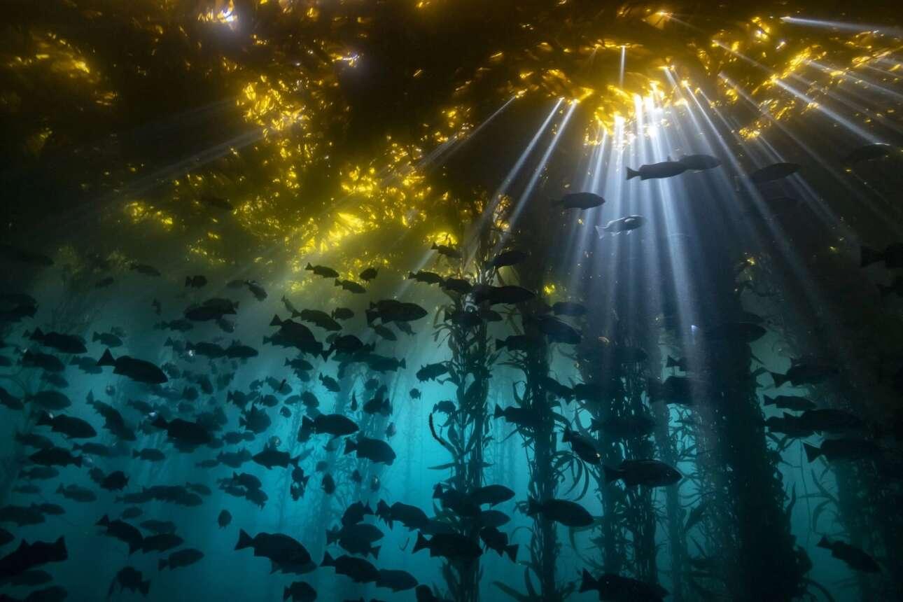 Την πρώτη θέση στην κατηγορία «Ψυχρά Νερά» κέρδισε η φωτογραφία ενός κοπαδιού από πέρκες που κολυμπούν κάτω από τα Kelp, που είναι φύκη τα οποία έχει αποδειχθεί ότι έχουν σημαντικές ευεργετικές ιδιότητες στον ανθρώπινο οργανισμό. Το πολύχρωμο σκηνικό που έχει δημιουργηθεί στην παραλία Monastery στην Καλιφόρνια με τις ακτίνες του Ηλιου να προσπαθούν να διαπεράσουν το φυτικό τείχος που έχει σχηματιστεί στην επιφάνεια του νερού είναι πραγματικά εντυπωσιακό