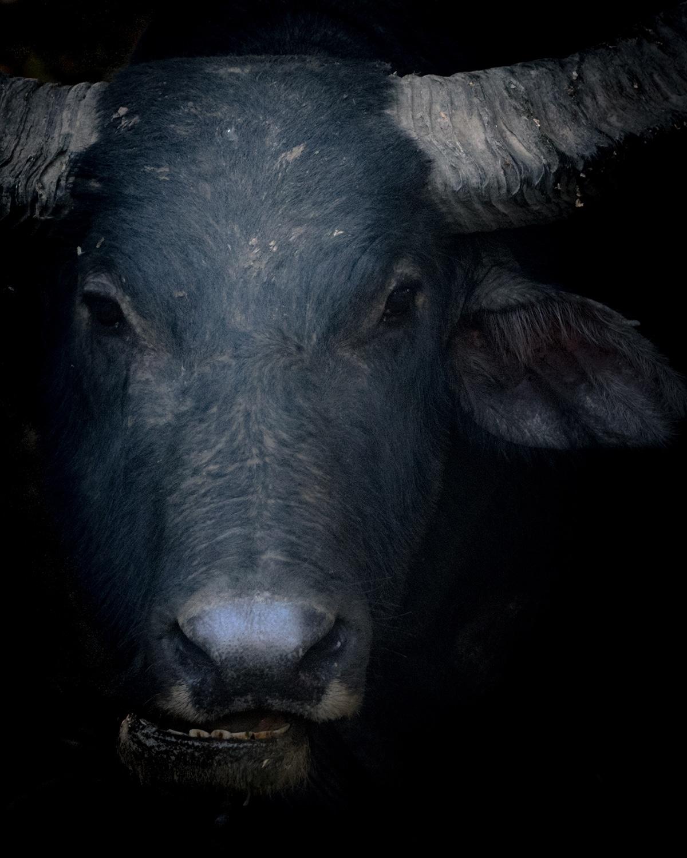 Γκρο πλαν σε ένα να βουβάλι που ζει σε ένα δάσος στην βορειοανατολική Ινδία. Η φωτογραφία με τίτλο «Νεροβούβαλος» κέρδισε ένα από τα βραβεία του διαγωνισμού