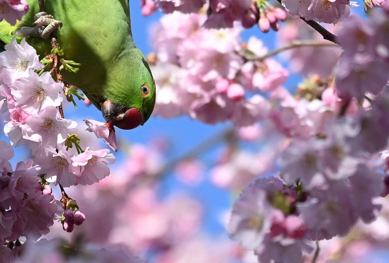 Ανθισμένες κερασιές και παπαγάλος – θα μπορούσες να το πεις και «πολυπολιτισμικότητα», αφού το πτηνό δεν είναι ενδημικό, αλλά έτσι είναι το πολύχρωμο Λονδίνο. Το πουλί πεινάει και τρώει τον ανθό της κερασιάς