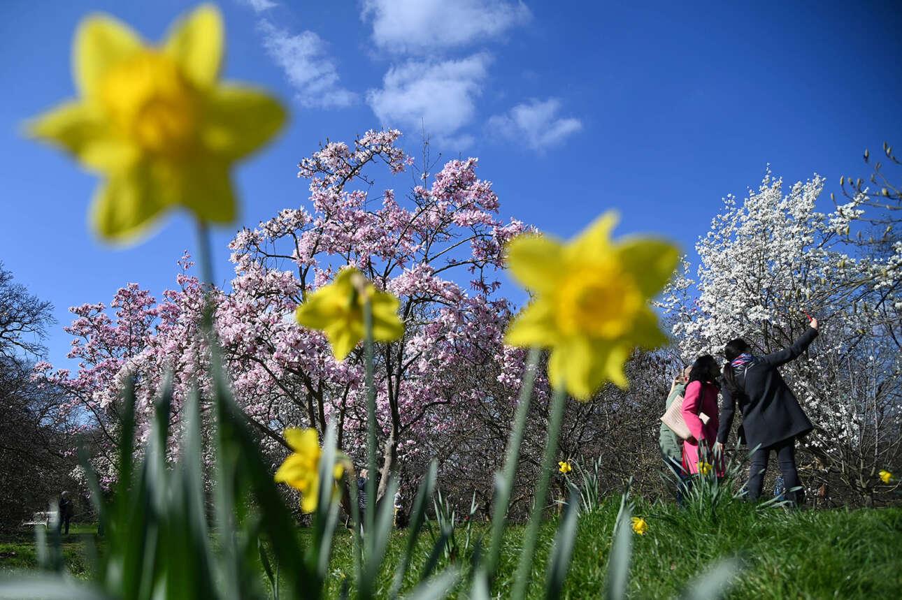 Βρετανία. Μανόλιες και νάρκισσοι στολίζουν το καρέ από τον Βοτανικό Κήπο του Λονδίνου