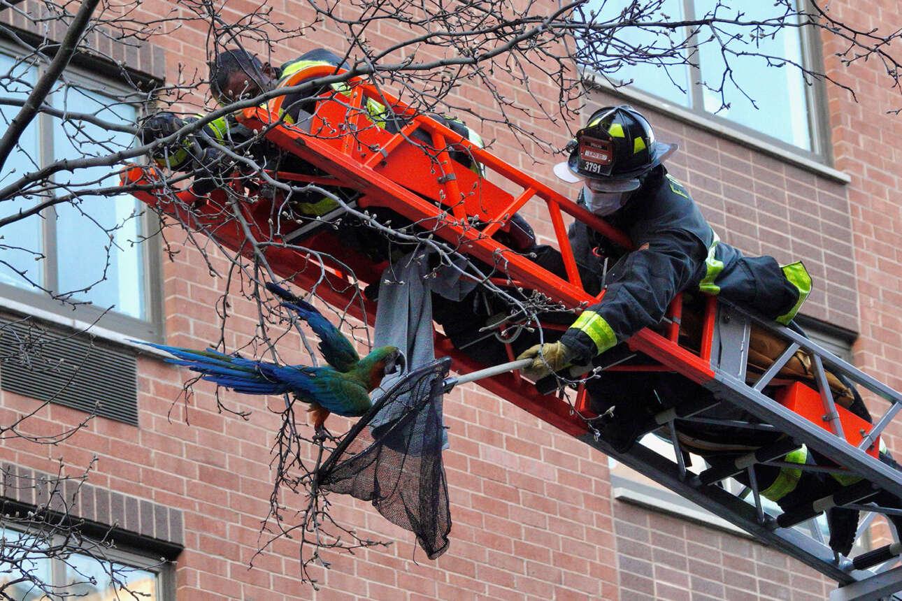 ΗΠΑ. Διάσωση παπαγάλου από πυροσβέστες της Νέας Υόρκης. Το πουλί είχε δραπετεύσει από το κτηνιατρείο του Μανχάταν, αν και κανείς δεν του προσέφερε μαϊντανό