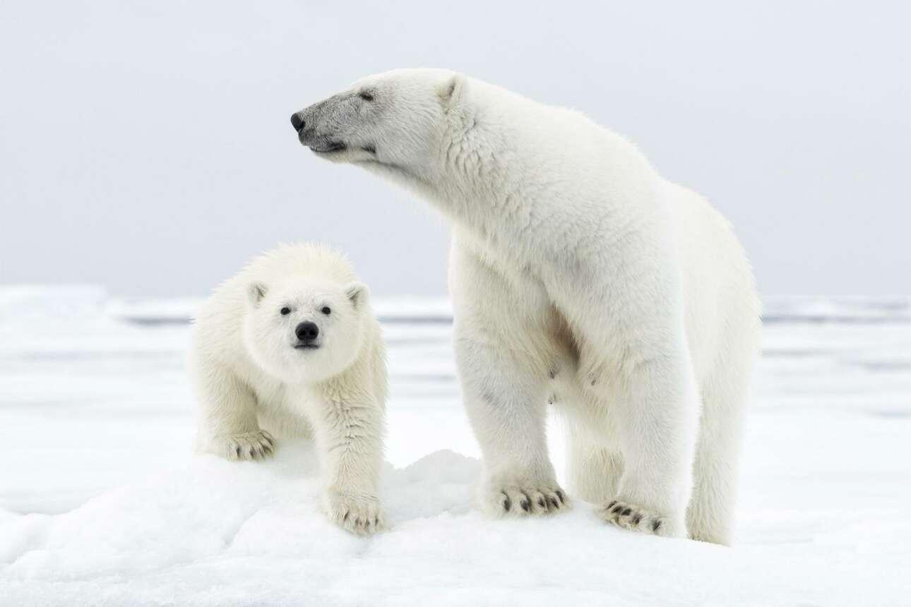 Φιναλίστ στην κατηγορία Πολικό. Ο Τζος Χόλκο απαθανάτισε δύο χαριτωμένες πολικές αρκούδες -μία μητέρα με το μικρό της- στο νορβηγικό Αρχιπέλαγος Σβάλμπαρντ