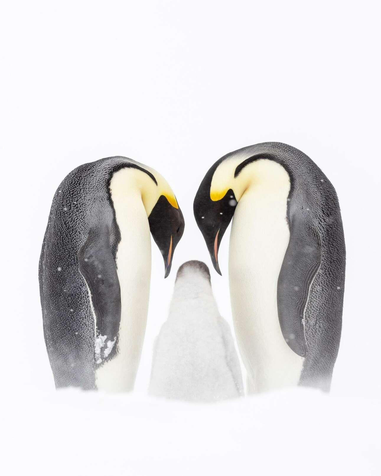 Φιναλίστ στην κατηγορία Πολικό: μία χαριτωμένη οικογένεια αυτοκρατορικών πιγκουίνων στην απομακρυσμένη Ανταρκτική