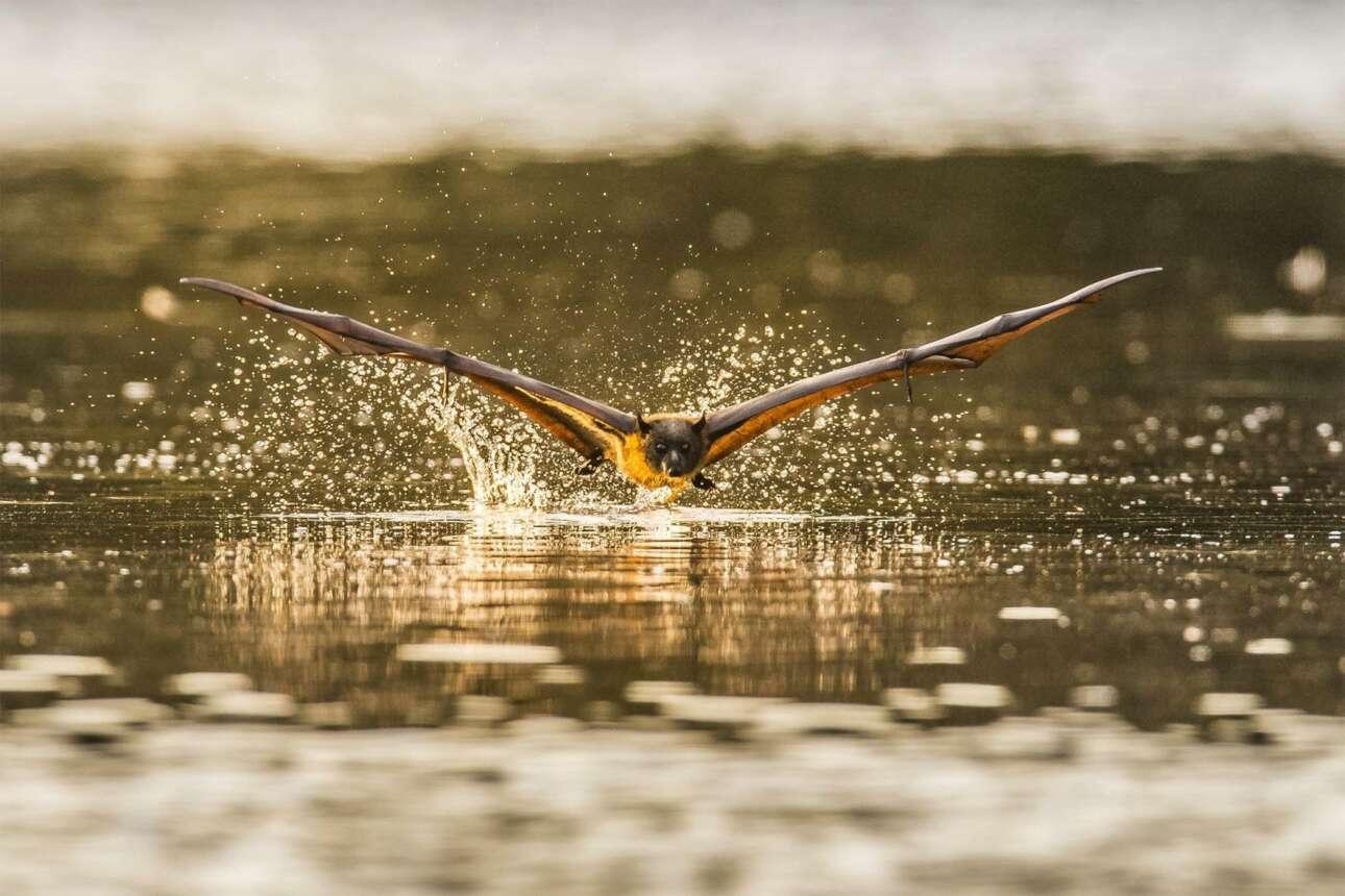 Η απίθανη λήψη από μία νυχτερίδα που τσαλαβουτάει στα νερά του πάρκου Centennial στο Σίδνεϊ κέρδισε το βραβείο στην κατηγορία Φύση