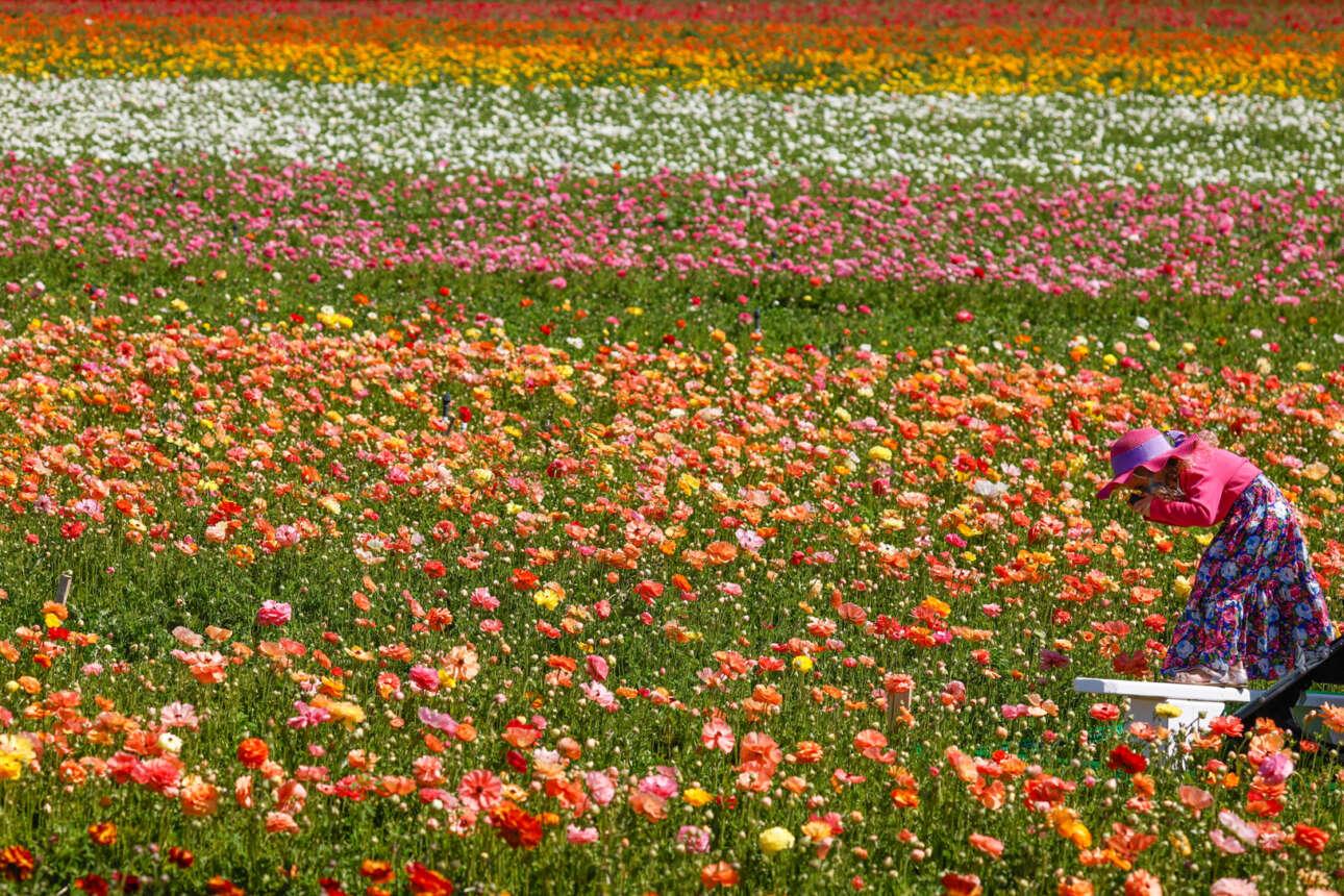 Το Flower Fields είναι ένας καλιφορνέζικος κήπος, επισκέψιμος μία φορά τον χρόνο την περίοδο της άνοιξης. Στο καρέ η επισκέπτριά του φωτογραφίζει από κοντά αυτά τα πολύχρωμα άνθη