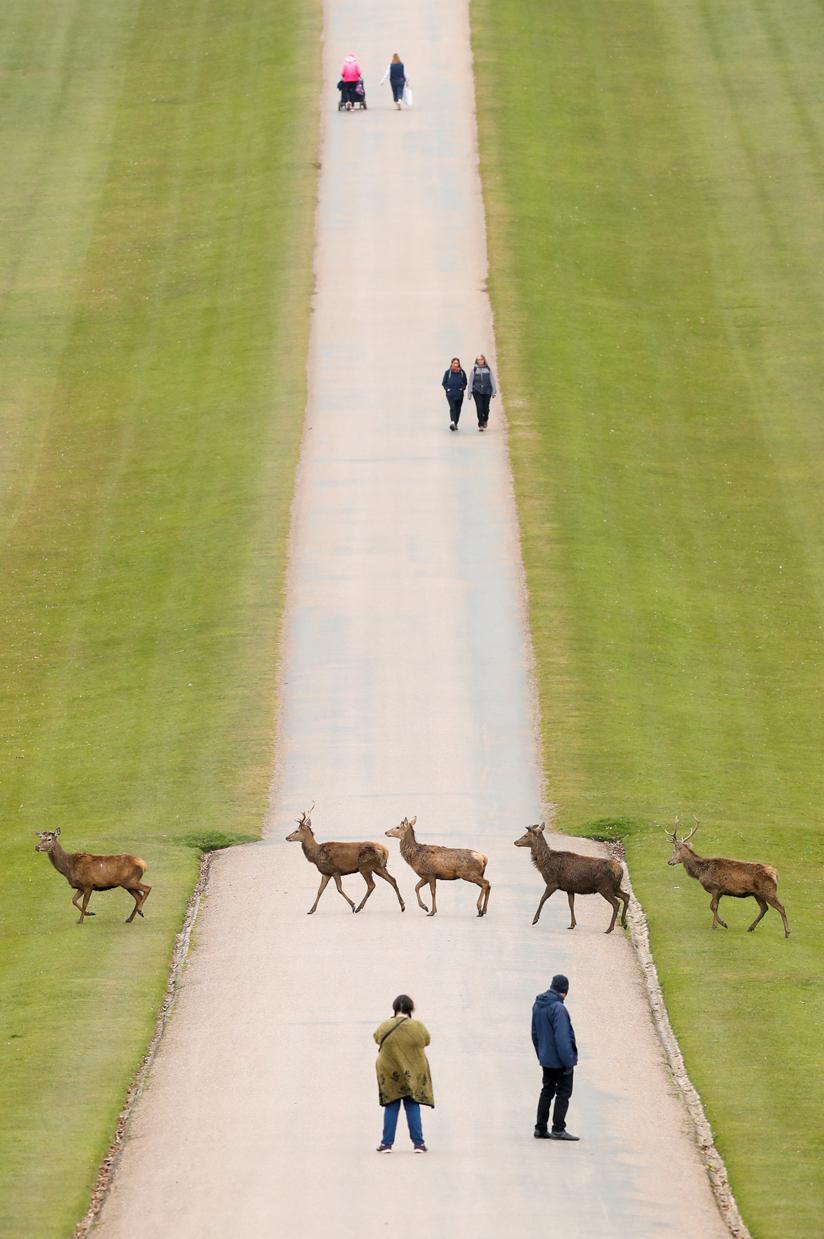 Βρετανία. Γαλήνια εικόνα από το λεγόμενο «Long Walk» των περιχώρων του Λονδίνου, δυτικώς του αεροδρομίου Χίθροου: κόσμος περιδιαβαίνει αμέριμνος και χαίρεται βλέποντας τα ελάφια