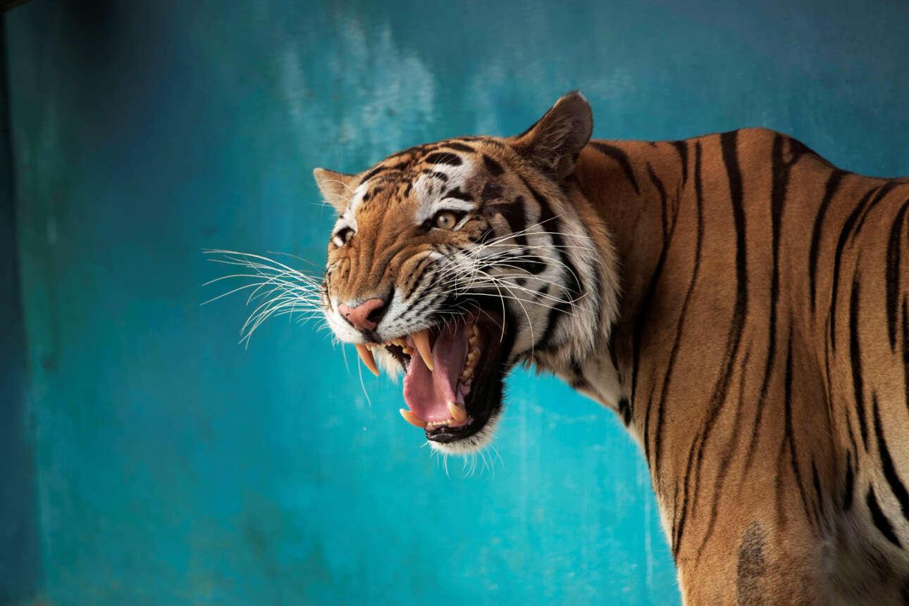 Κούβα. Τίγρη της Βεγγάλης, παρεπιδημούσα στην Αβάνα, χαρίζει ένα δολοφονικό χαμόγελο σε κάποιον που ενόχλησε τον φωτογράφο και έτσι κατέστρεψε το ήρεμο ανφάς πορτρέτο της