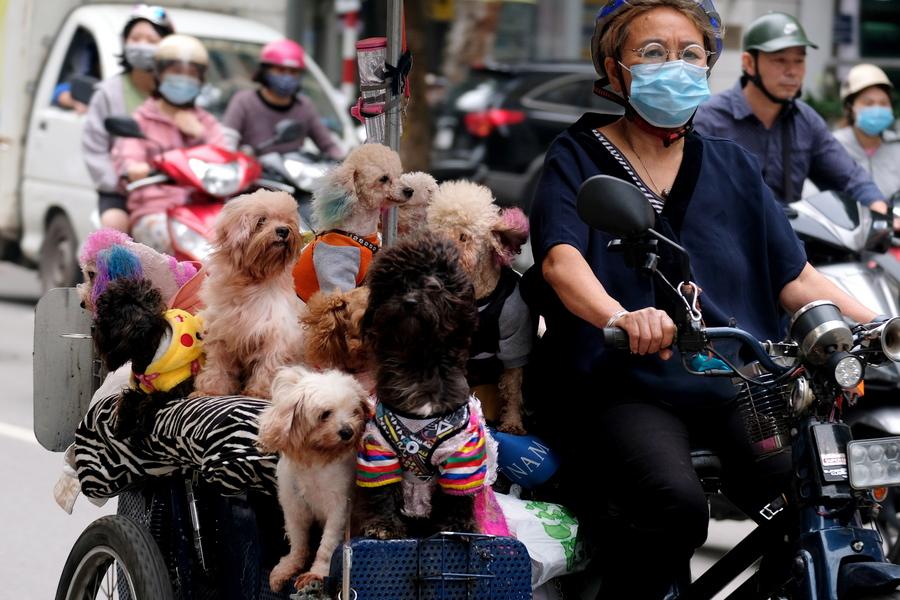 Βιετνάμ. Ποδηλάτισσα του Ανόι έβγαλε τα σκυλάκια της βόλτα στη λεωφόρο των καυσαερίων