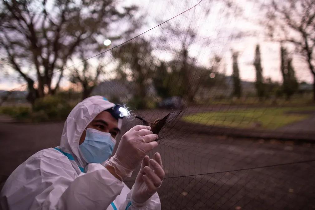 Ενας από τους ερευνητές απεγκλωβίζει μια νυχτερίδα από το δίχτυ που έχει απλώσει για αυτό τον σκοπό. Η μελέτη των νυχτερίδων μπορεί να προσφέρει πολύτιμες πληροφορίες σε ενδεχόμενη νέα πανδημία που μπορεί να ξεκινήσει από κάποιον ιό που θα μεταφέρουν εκείνες στον άνθρωπο