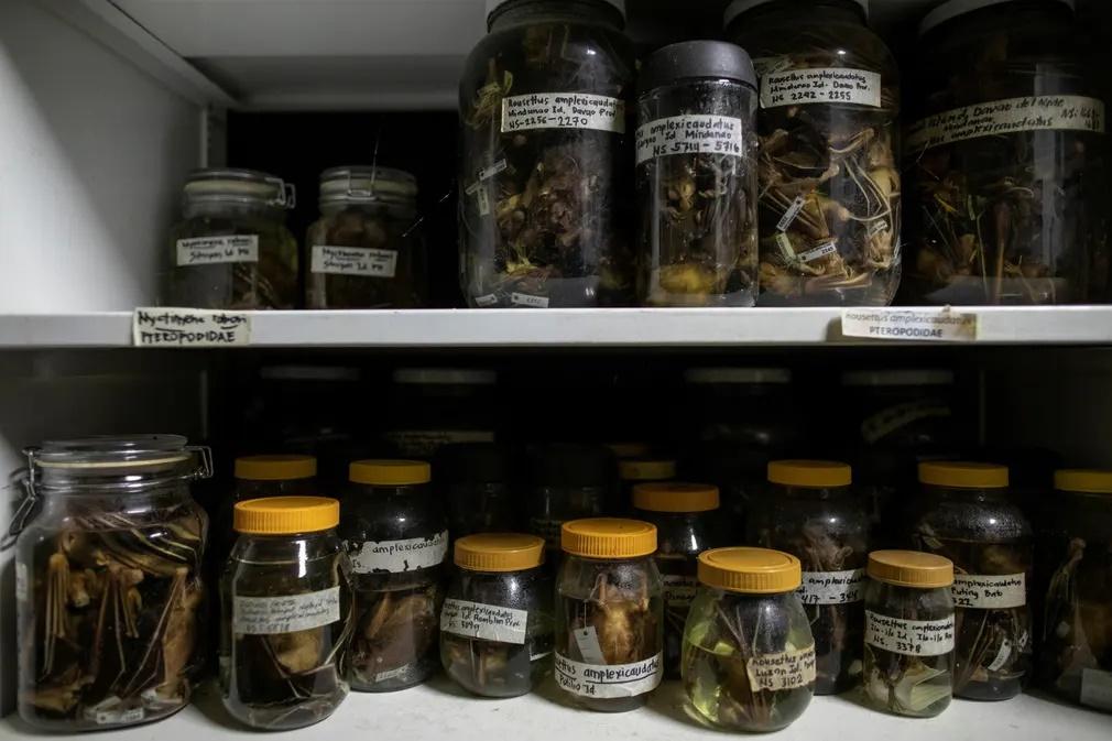 Οι νυχτερίδες που συλλαμβάνονται διατηρούνται στην συνέχεια σε ειδικά δοχεία στο μουσείο φυσικής ιστορίας του πανεπιστημίου του Los Banos. Μέχρι στιγμής έχει δημιουργηθεί ένας κατάλογος που περιέχει έξι χιλιάδες νυχτερίδες