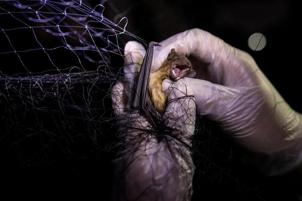 Ένας από τους ερευνητές προσπαθεί να απεγκλωβίσει μια μικρή νυχτερίδα που έχει αιχμαλωτιστεί στο δίχτυ που τοποθέτησαν για αυτό τον σκοπό σε ένα δάσος