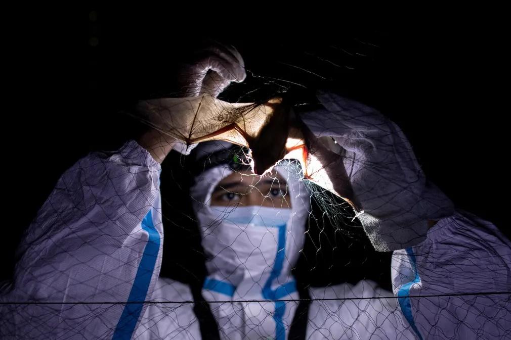 O Κερκ Ταράι, οικολόγος με ειδίκευση στις νυχτερίδες, απεγκλωβίζει μια νυχτερίδα από ένα δίχτυ. «Με την πανδημία να εξελίσσεται υπάρχει πλέον μεγαλύτερη προσοχή από ότι στο παρελθόν στις έρευνες που διεξάγονται σε νυχτερίδες. Λαμβάνονται πολύ περισσότερα προστασίας για να προστατευτούν τόσο οι επιστήμονες όσο και οι νυχτερίδες. Παράλληλα τα μέτρα περιορισμού και οι απαγορεύσεις στην μετακίνηση έκαναν δύσκολο το έργο της προσέγγισης διαφόρων περιοχών που θα μπορούσαν να αποτελέσουν πεδίο έρευνας» δηλώνει ο Ταράι