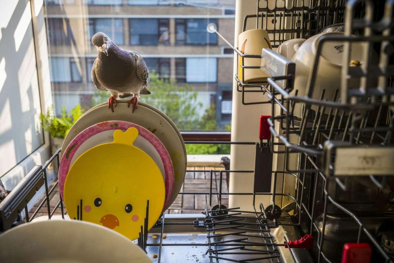 Ολλανδία. Περιστέρι χαζεύει άπλυτα πιάτα και φλιτζάνια σε οικιακό πλυντήριο. Η λεζάντα λέει ότι οι ιδιοκτήτες του διαμερίσματος άφηναν τα πουλιά να μπαίνουν καθημερινώς στο σπίτι τους για να μην αισθάνονται μόνοι κατά τη διάρκεια του lockdown… («Φύση» πρώτο βραβείο)