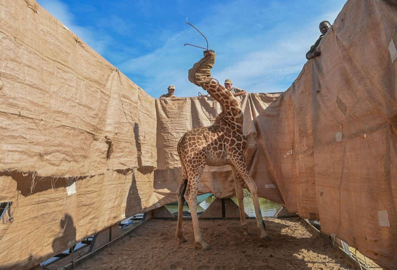 Κένυα. Διάσωση καμηλοπάρδαλης από πλημμυρισμένο τόπο, με τον τρόπο που βλέπετε. Το κεφάλι του ζώου είναι καλυμμένο με πανί, και οι αρμόδιοι για τη μεταφορά του εργάτες το χαζεύουν («Φύση», πρώτο βραβείο)
