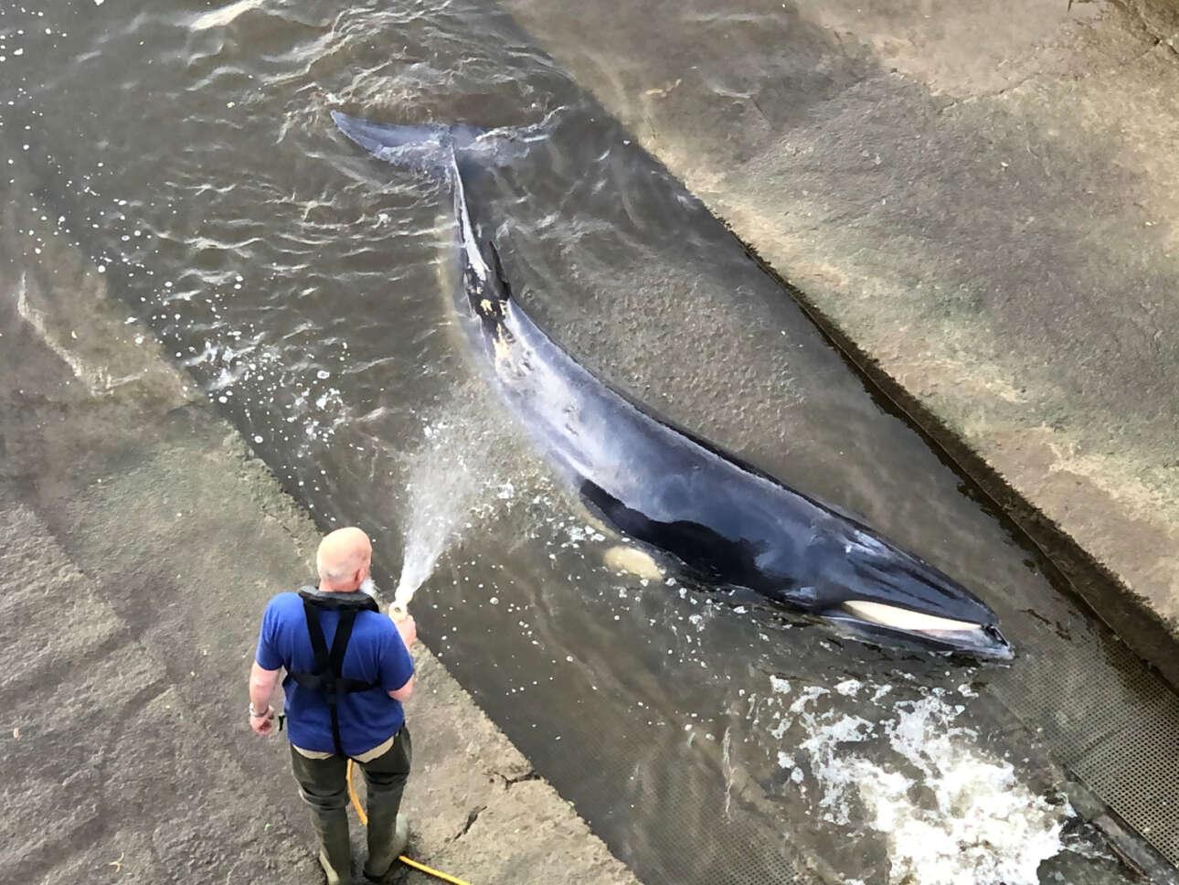 Η νεαρή φάλαινα έχει προσαράξει σε ένα ρηχό κανάλι του Τάμεση, έτσι δέχεται με ευχαρίστηση το… πότισμά της με καθαρό νερό από το λάστιχο κάποιου Λονδρέζου