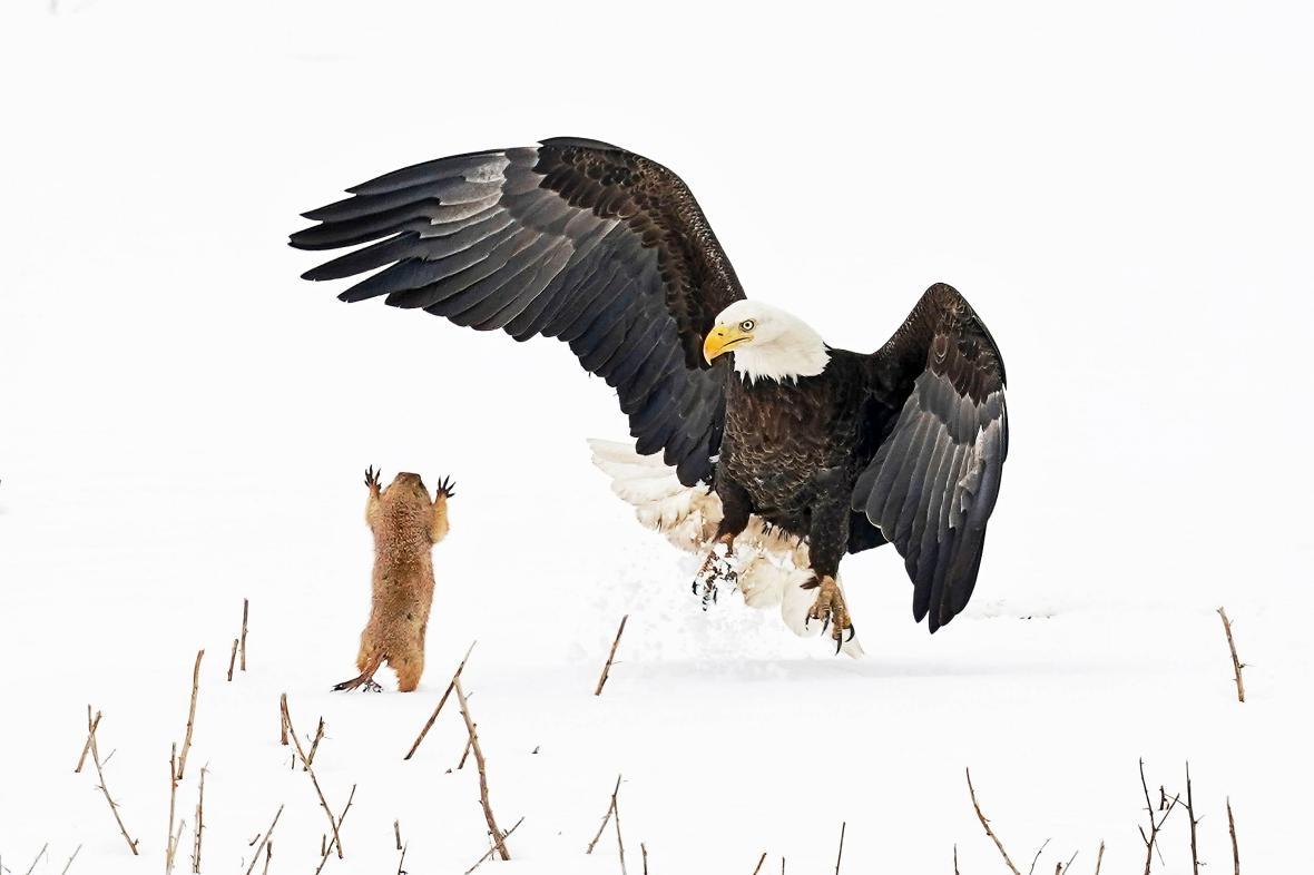 Ο φαλακρός αετός είναι το δεύτερο μεγαλύτερο αρπακτικό πουλί στη Βόρεια Αμερική. Στην φωτογραφία που τραβήχτηκε στο Κολοράντο ένας φαλακρός αετός προσπαθεί να αρπάξει ένα κυνόμυ (ένα είδος τρωκτικού που ζει στο Μεξικό και τις ΗΠΑ) αλλά το μικρό ζώο έχοντας καταφέρει να ξεφύγει έχει στραφεί στον διώκτη του και φαίνεται να του κάνει κάποιες… χειρονομίες