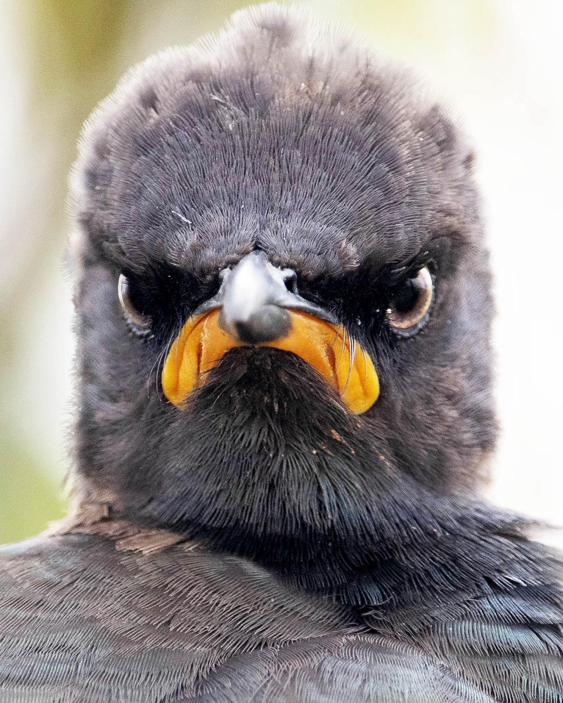 Ο φωτογράφος συνέλαβε με τον φακό του ένα πτηνό του είδους Tricholaema leucomelas στο Πάρκο Rietvlei στην Νότιο Αφρική νωρίς το πρωί να έχει ξυπνήσει με κακή διάθεση.