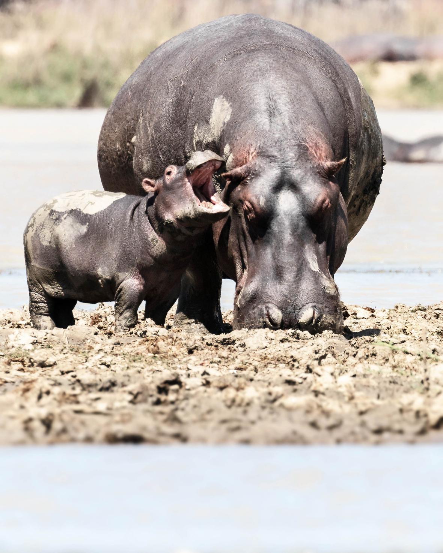 Ένας ιπποπόταμος βρεφικής ηλικίας επιζητά με δυναμικό τρόπο την προσοχή της μητέρας του στο πάρκο προστασίας άγριων ζώων στο Μαλάουι