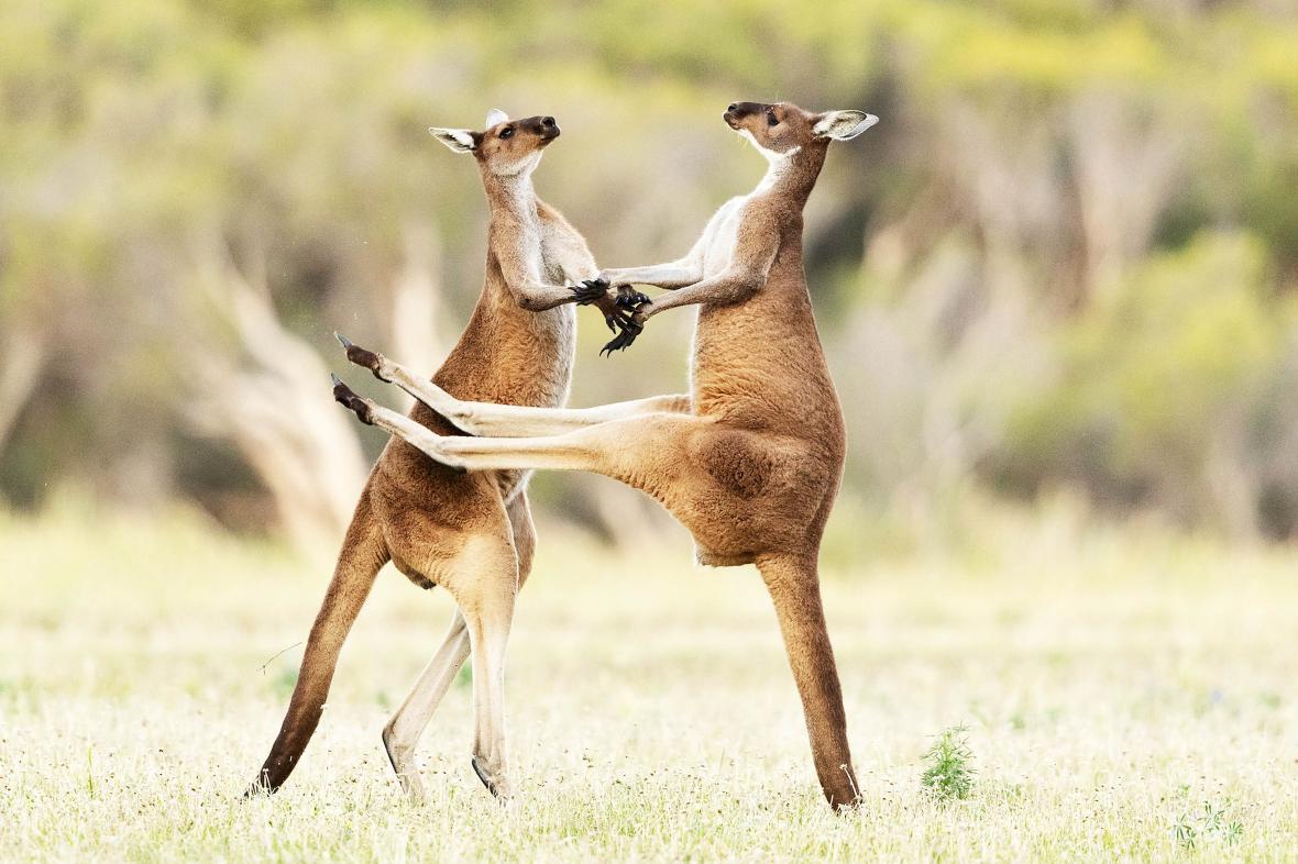 Τα δυτικά γκρι καγκουρό είναι ένα από τα τέσσερα είδη καγκουρό της Αυστραλίας. Μοιάζουν να χορεύουν αλλά  στην πραγματικότητα παλεύουν. Εκείνο δεξιά προσπάθησε να κλωτσήσει τον αντίπαλο του στην κοιλιά αλλά αστόχησε