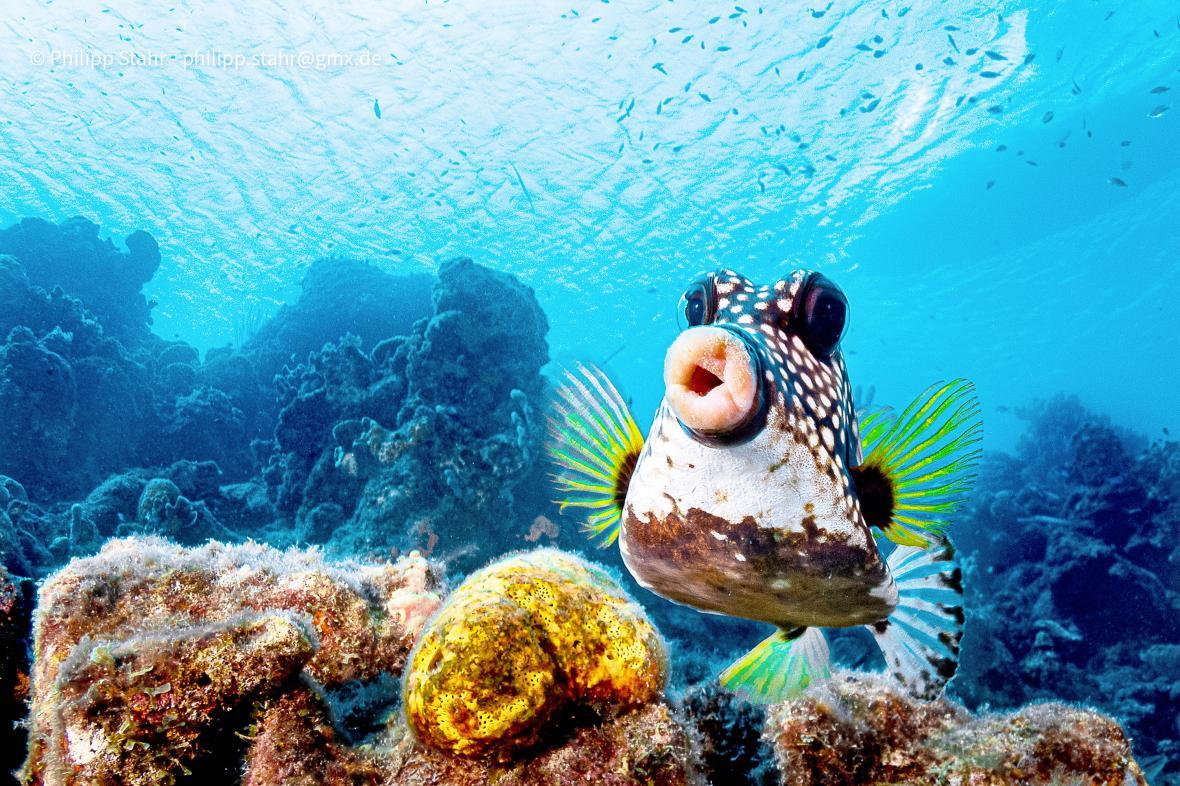 Στα νερά του νησιού Κουρασάο, στο νότιο κομμάτι της Καραϊβικής, ο φωτογραφικός φακός συνέλαβε ένα ψάρι της οικογένειας των boxfish. Τα ψάρια-κουτιά έχουν σχεδόν τετράγωνο σχήμα για αυτό ονομάστηκαν κουτιά αλλά και χαρακτηριστικό στόμα που μοιάζει να έχει μεγάλα χείλη. Ο φωτογράφος προσπαθούσε μάταια επί πολλή ώρα να τραβήξει την προσοχή του ψαριού για να πάρει μια καλή πόζα. Αποφάσισε να χρησιμοποιήσει ένα κόλπο και έκανε ότι αγνοεί το ψάρι ενώ ταυτόχρονα ήταν έτοιμος να στραφεί απότομα σε αυτό και να τραβήξει εικόνες. Κατάφερε να καταγράψει αυτή την εικόνα την οποία έστειλε στο διαγωνισμό
