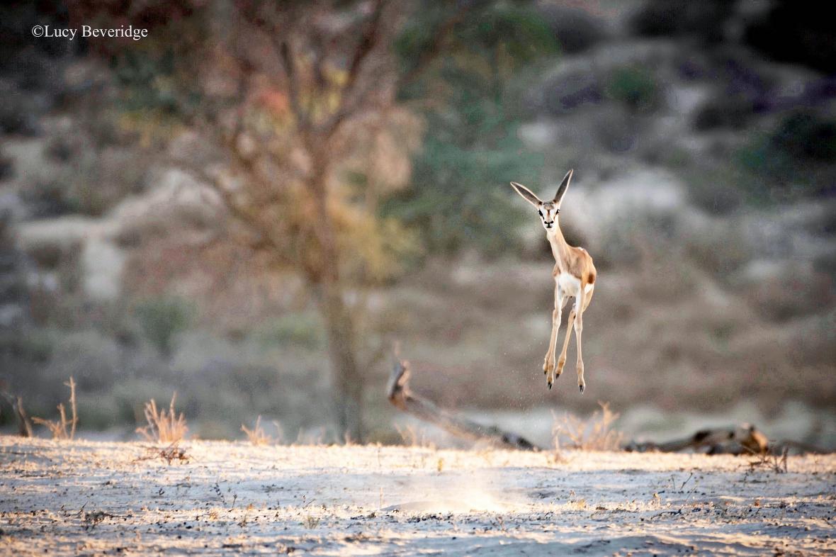 Μια νεαρής ηλικίας αντιλόπη στο Πάρκο Kgalagadi στην Μποτσουάνα ποζάρει στον φακό χοροπηδώντας με εντυπωσιακά άλματα. Οι  ειδικοί δεν έχουν καταλήξει ακόμη στον λόγο που ανέπτυξε αυτή την ικανότητα το συγκεκριμένο είδος. Κάποιοι πιστεύουν ότι με αυτό τον τρόπο η αντιλόπη δείχνει ότι είναι δυνατή και υγιής και έτσι από την μια πλευρά αποθαρρύνει επιθέσεις από αντιπάλους και θηρευτές και από την άλλη προσελκύει ταίρι. Κάποιοι άλλοι λένε ότι μπορεί να κάνει αυτά τα εντυπωσιακά άλματα απλά για λόγους διασκέδασης