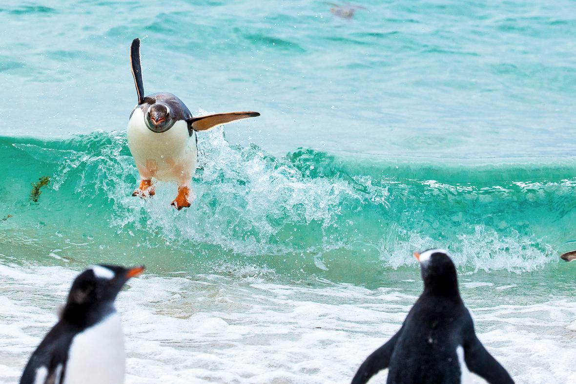 Πιγκουίνοι σερφάρουν στα κύματα των νησιών Φόκλαντς στον Νότιο Ατλαντικό και ο φωτογράφος κατάφερε να καταγράψει ορισμένες από τις προσπάθειες τους