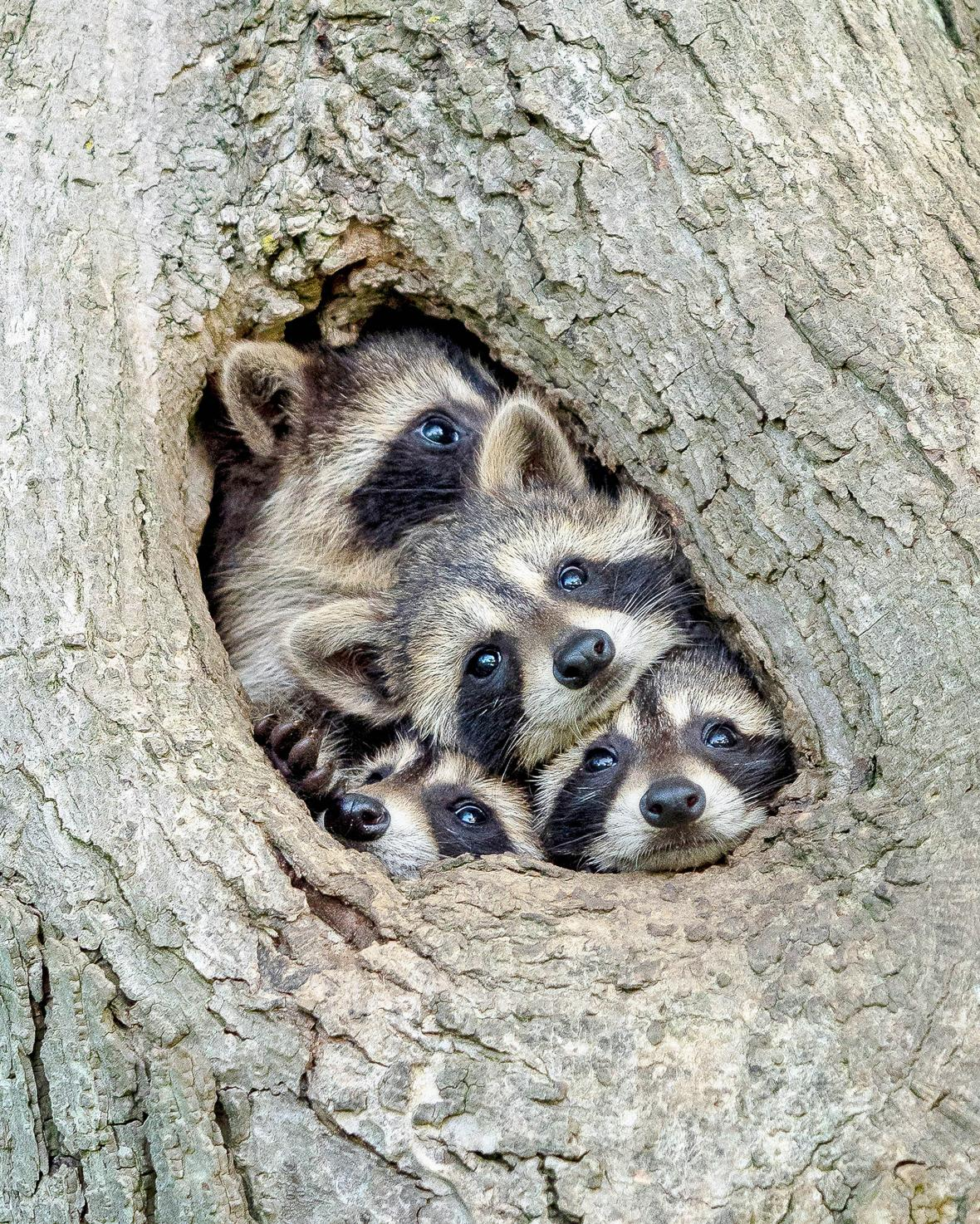Μια οικογένεια ρακούν που αποτελείται από την μητέρα και τα τρία μικρά της έχουν στριμωχτεί μέσα σε μια κουφάλα δέντρου στο Οντάριο του Καναδά. Τα ρακούν δεν δημιουργούν μόνιμες φωλιές αλλά μετακινούνται καθημερινά σε διαφορετικό μέρος για να κοιμηθούν. Ο φωτογράφος εντόπισε αυτή την οικογένεια και έστησε την μηχανή του με τα μικρά ρακούν να βγάζουν με περιέργεια τα κεφάλι τους έξω από την τρύπα για να κοιτάξουν τι συμβαίνει ενώ η μητέρα δείχνει αδιάφορη