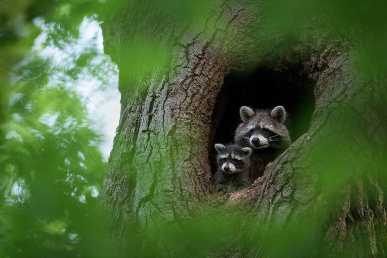 Η χαριτωμένη οικογένεια ρακούν που κοιτάζει έξω από μια κουφάλα δέντρου βγήκε τρίτη στην Ειδική κατηγορία