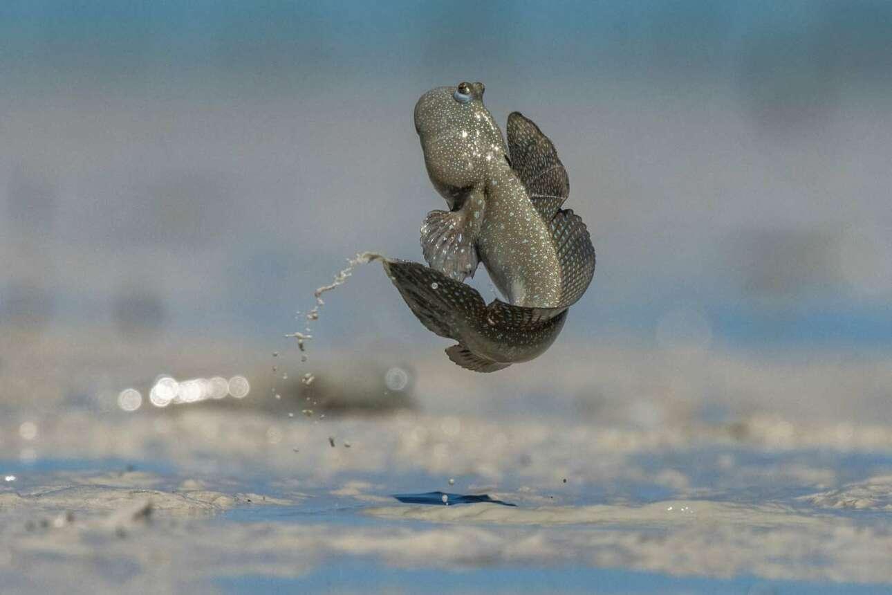Πρώτη θέση στην κατηγορία Αλλα Ζώα: το αμφίβιο ψάρι Mudskipper με το γυαλιστερό δέρμα αποτυπωμένο σε όλο του το μεγαλείο