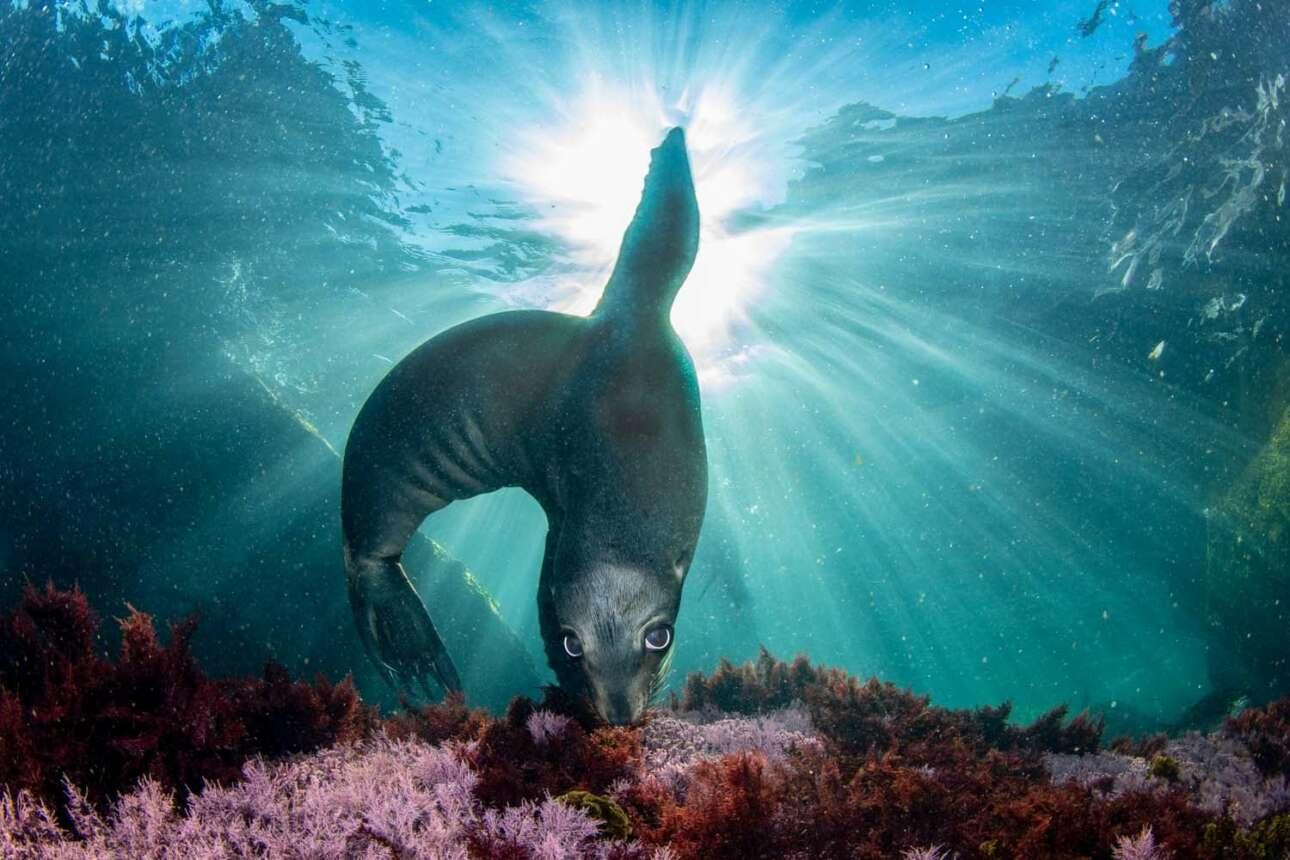 «O ταχυδακτυλουργός», τρίτη θέση στην κατηγορία Θηλαστικά: μία παιχνιδιάρα φώκια μοιάζει σαν να κάνει κόλπα στον βυθό της θάλασσας