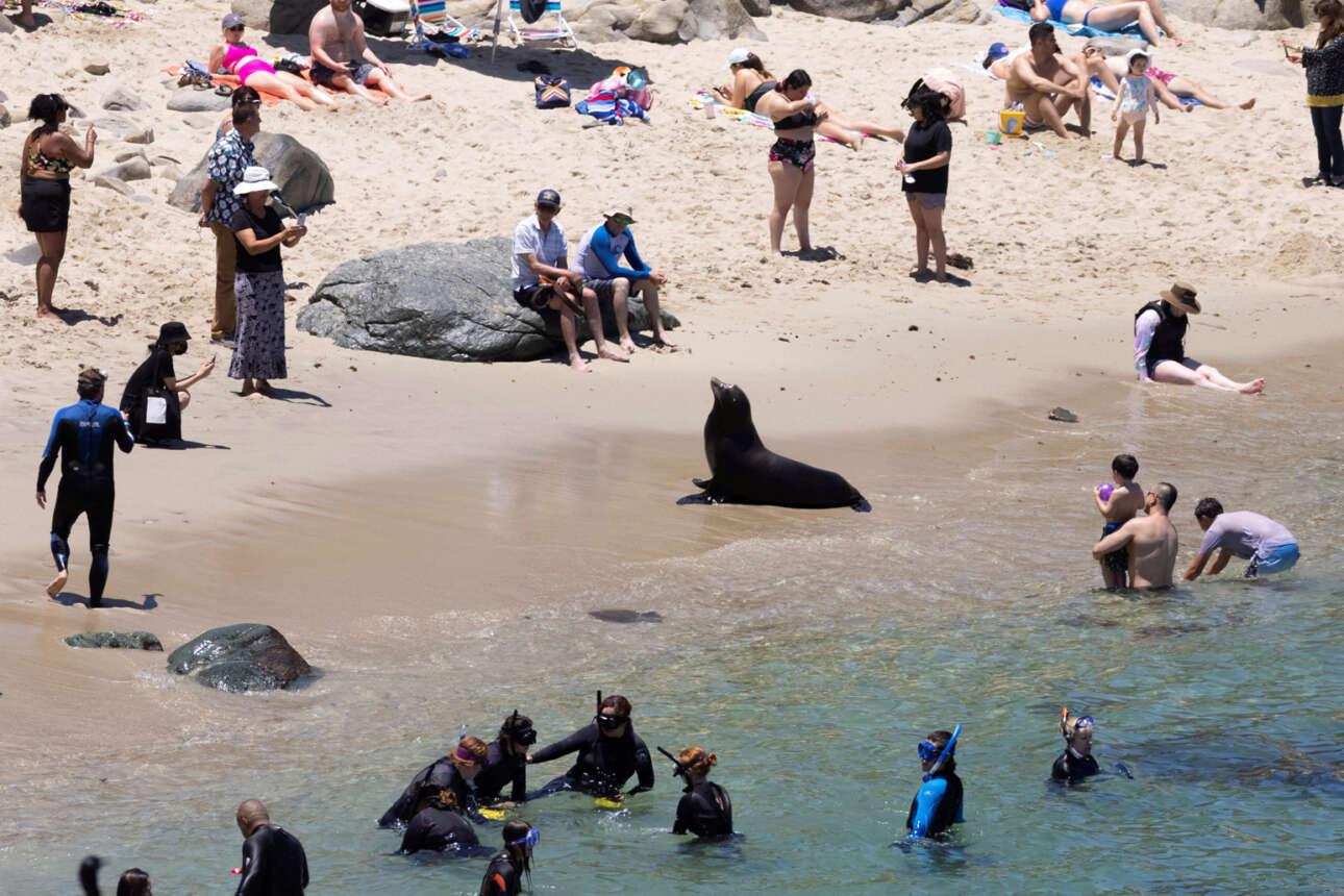 Παραλία στην Καλιφόρνια. Ενας αλλά λέων και δη θαλάσσιος βγήκε στην παραλία και ενθουσίασε τους κολυμβητές