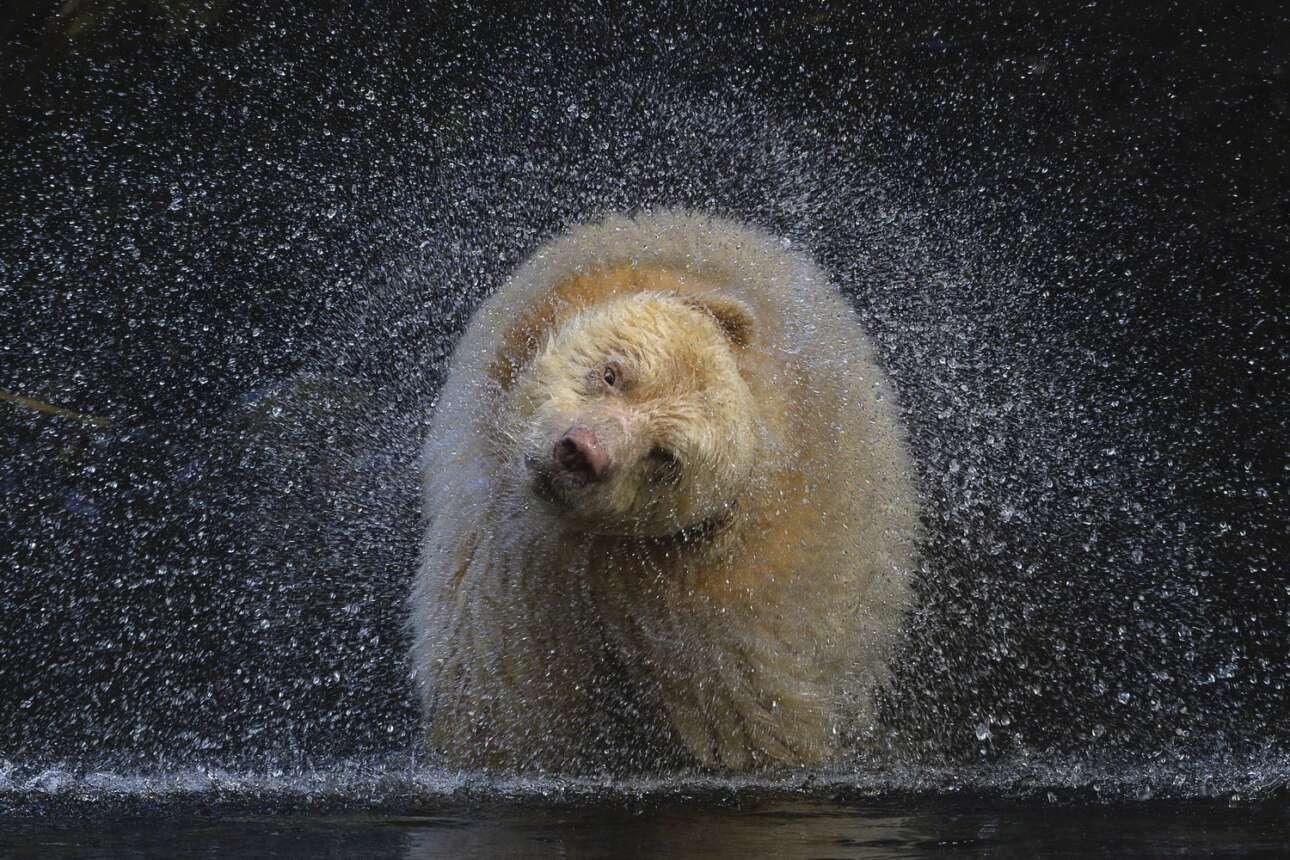 Σε ένα απομακρυσμένο νησί του Καναδά η φωτογράφος Μισέλ Βάλμπεργκ σταμάτησε για να πάρει μια ανάσα και μερικά μέτρα μπροστά της είδε μια αρκούδα του είδους Kermode, ένα υποείδος της μαύρης αμερικανικής αρκούδας, να έχει χώσει το κεφάλι της μέσα στο ποτάμι για να πιάσει σολομούς. Η φωτογράφος ήξερε τι θα συμβεί όταν η αρκούδα θα έβγαζε το κεφάλι από το νερό και έσπευσε να καταγράψει την εικόνα του ζώου να αποτινάσει με εντυπωσιακό τρόπο το νερό από πάνω του. H φωτογραφία κέρδισε βραβείο στην κατηγορία «Χερσαία Ζωή»