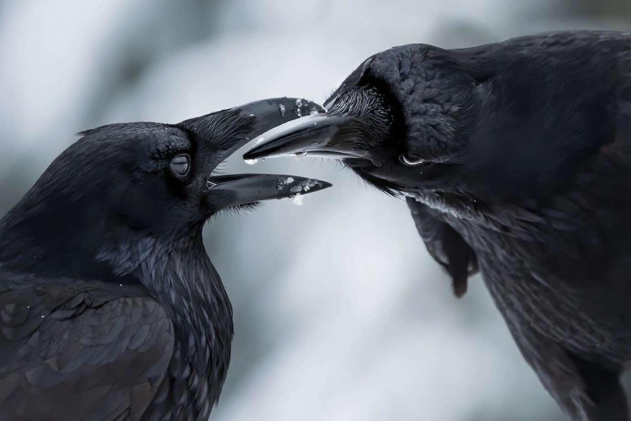 Τα κοινά κοράκια συνήθως περνούν όλη την ζωή τους με ένα ταίρι και στην φωτογραφία εικονίζεται ένα κοράκι να περιποιείται το φτέρωμα του συντρόφου του. Είναι μια κίνηση που εκτός από το ότι κρατά καθαρό το φτέρωμα ενισχύει τον συναισθηματικό δεσμό ανάμεσα στο ζευγάρι. Έχει παρατηρηθεί πώς όταν ένα ζευγάρι κορακιών πραγματοποιεί αυτή την διαδικασία κάνουν την εμφάνιση τους άλλα κοράκια τους είδους τους με επιθετική συμπεριφορά. Οι ειδικοί εξηγούν αυτή την συμπεριφορά ως ζήλια απέναντι στο ζευγάρι από κοράκια που θέλουν να διασπάσουν τον δεσμό τους. H φωτογραφία κέρδισε βραβείο στην κατηγορία «Φτερωτή Ζωή»