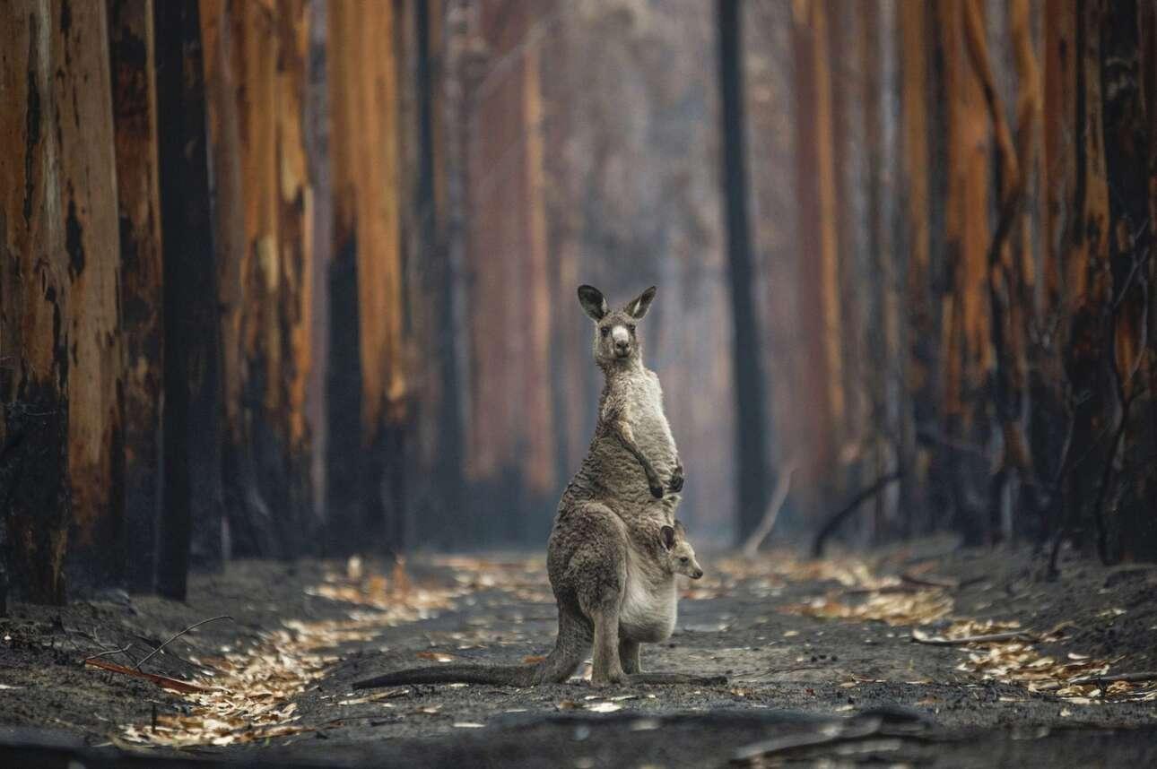 Το μεγάλο βραβείο του διαγωνισμού κέρδισε η φωτογραφία με τίτλο «Ελπίδα Μέσα στις Στάχτες» στην οποία το διασημότερο ζώο της Αυστραλίας, ένα καγκουρό μαζί με το μικρό του βρίσκονται ασφαλή πλέον μέσα σε ένα από τα καμένα δάση της νησιωτικής ηπείρου. Το 2019 και το 2020 δεκάδες εκατ. στρέμματα δασών και εκτάσεων με θάμνους κάηκαν στις πρωτοφανείς πυρκαγιές που έκαιγαν τα πάντα στο πέρασμα τους για πολλούς μήνες.