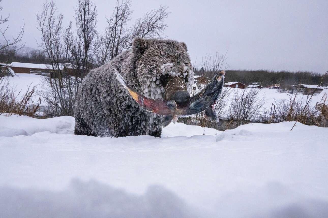 Πρώτο βραβείο στην κατηγορία Photo Story η φωτογραφία μιας αρκούδας γκρίζλι στην περιοχή Γιουκόν στον Καναδά η οποία έχει καθυστερήσει να ξεκινήσει την διαδικασία της χειμερίας νάρκης για να πιάσει τον τελευταίο σολομό της σεζόν. Οι αρκούδες στην συγκεκριμένη περιοχή ονομάζονται «αρκούδες των πάγων» και κινδυνεύουν με εξαφάνιση αφού η ανθρώπινη δραστηριότητα εξαφανίζει με διαφόρους τρόπους την βασική πηγή της τροφής της που είναι οι σολομοί.