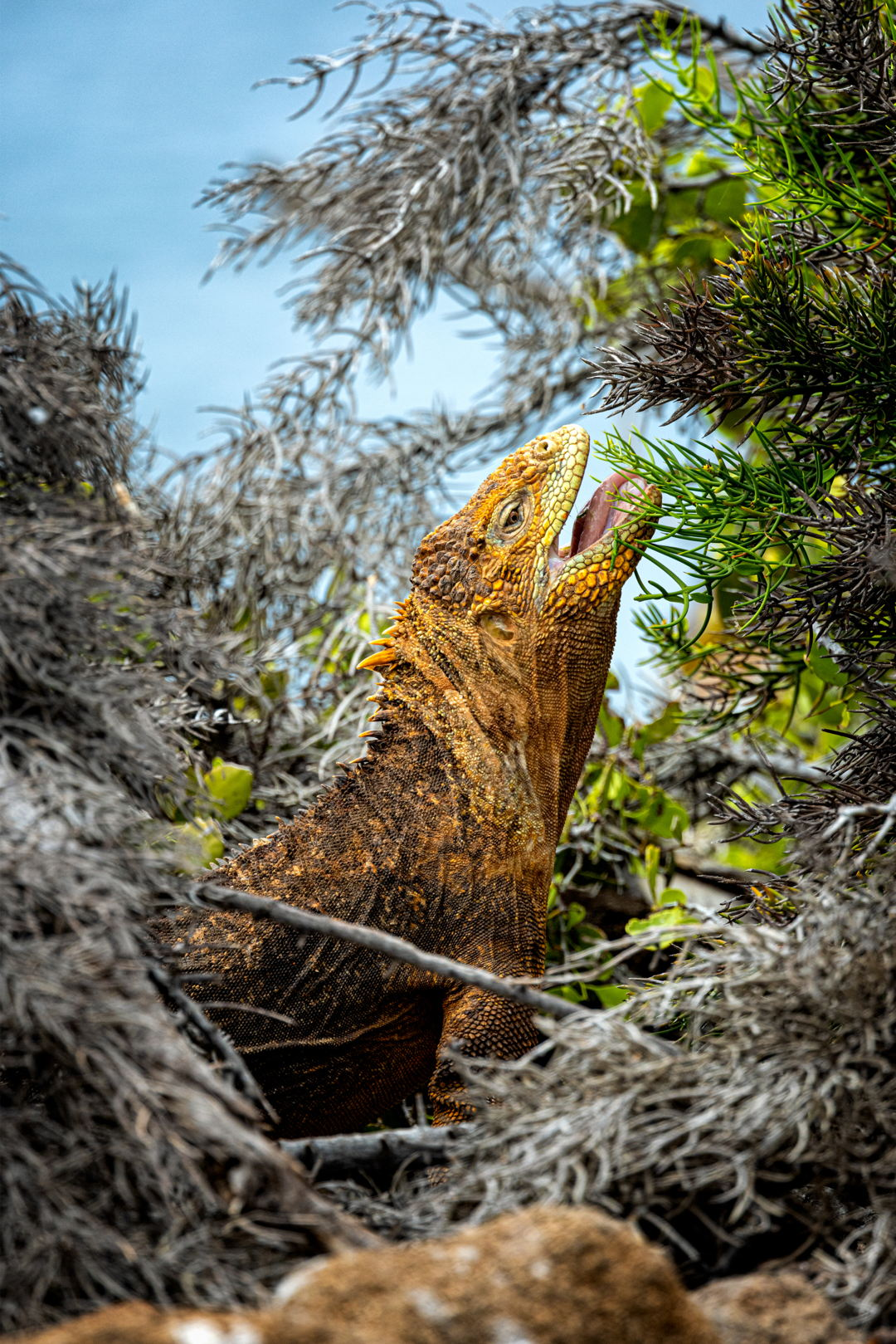 1η θέση στην κατηγορία Animals in Action /  Χερσαίο Ιγκουάνα των Γκαλάπαγκος