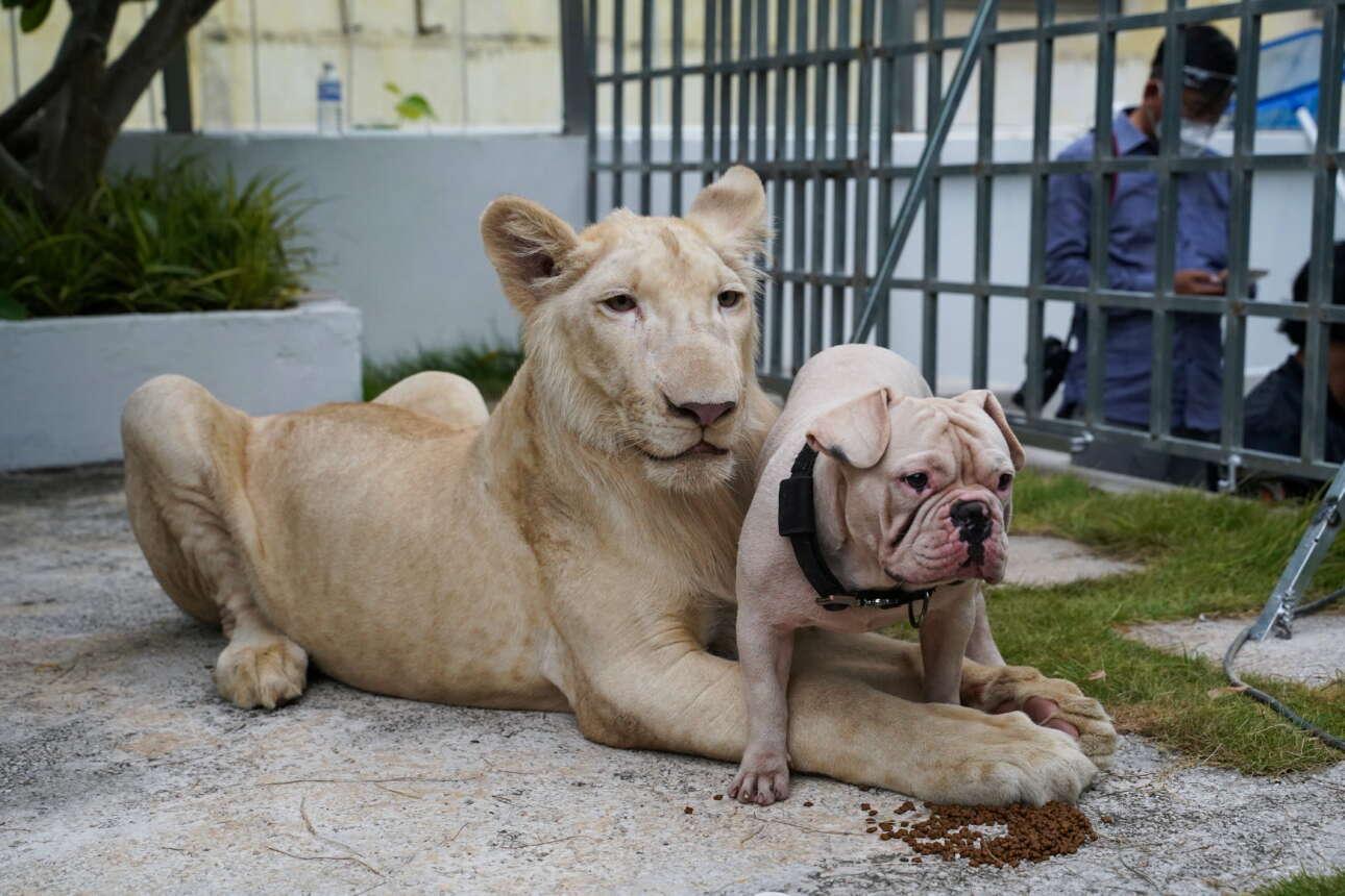 «Οικόσιτο» λιοντάρι ποζάρει με απελπισμένο σκύλο στην Καμπότζη. Τα δύο ζώα προς το παρόν συμβιώνουν, επειδή η μεγάλη γάτα και ταΐζεται και απολαμβάνει το παιχνίδι με το κατοικίδιό της