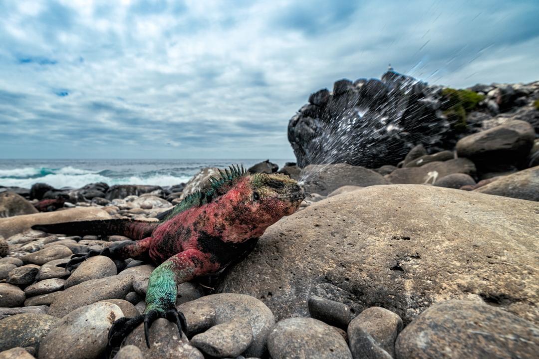 2η θέση στην κατηγορία Animals in Action / Θαλάσσιο ιγκουάνα των Γκαλάπαγκος